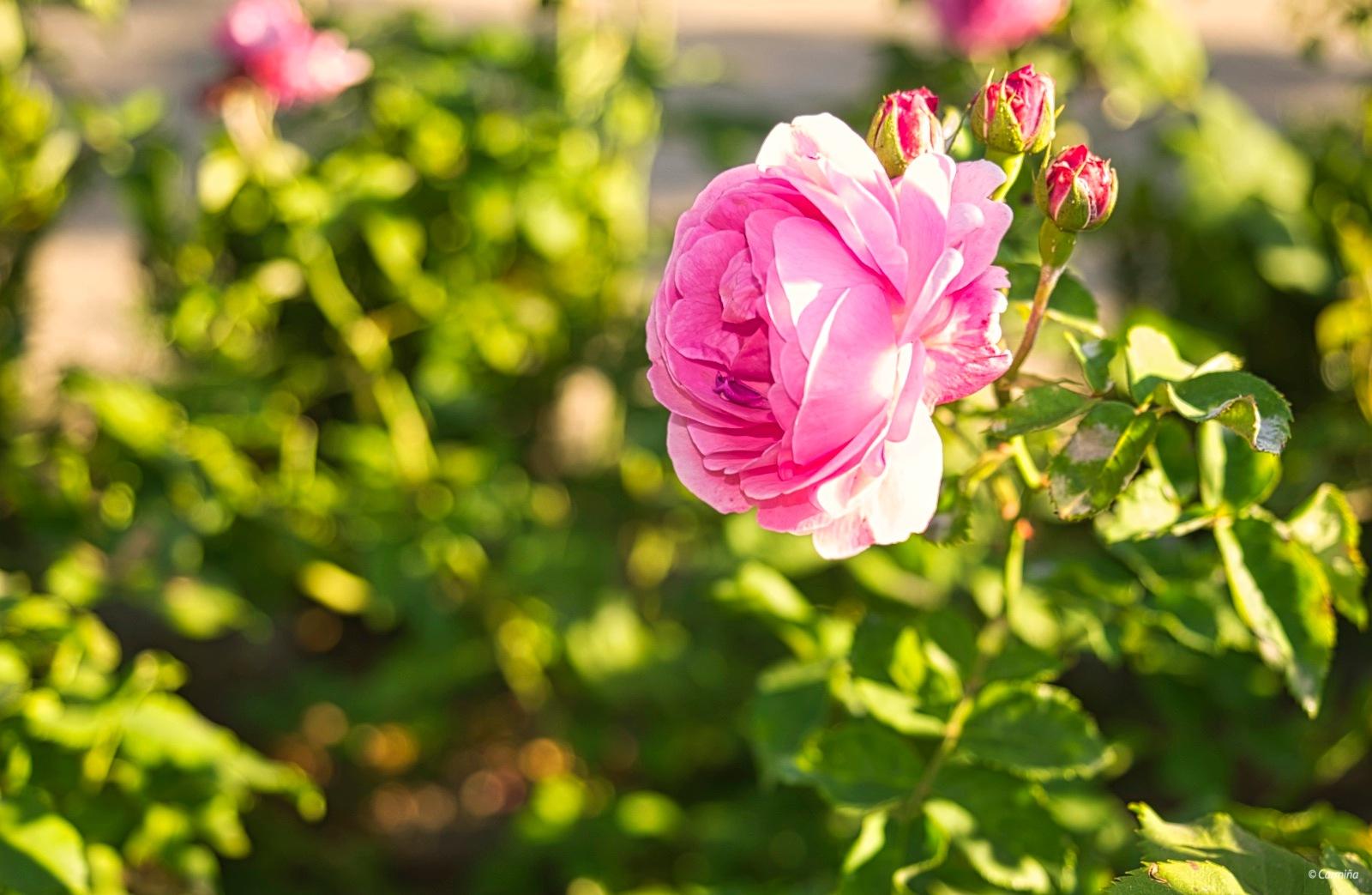 De color rosa by carmina.waterstone
