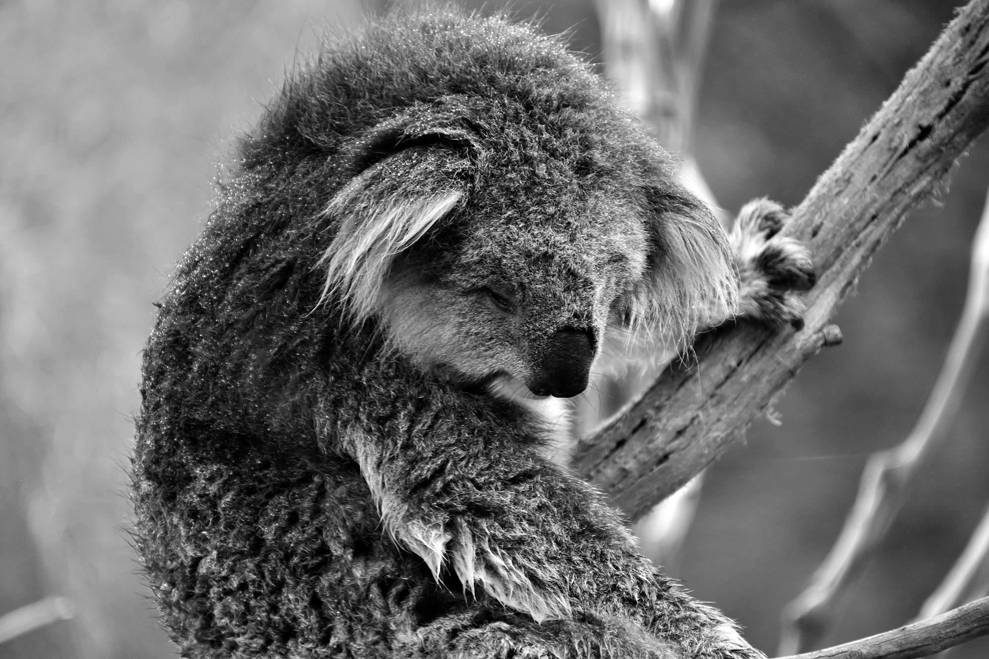 Koala by Andrea Papageorgiu
