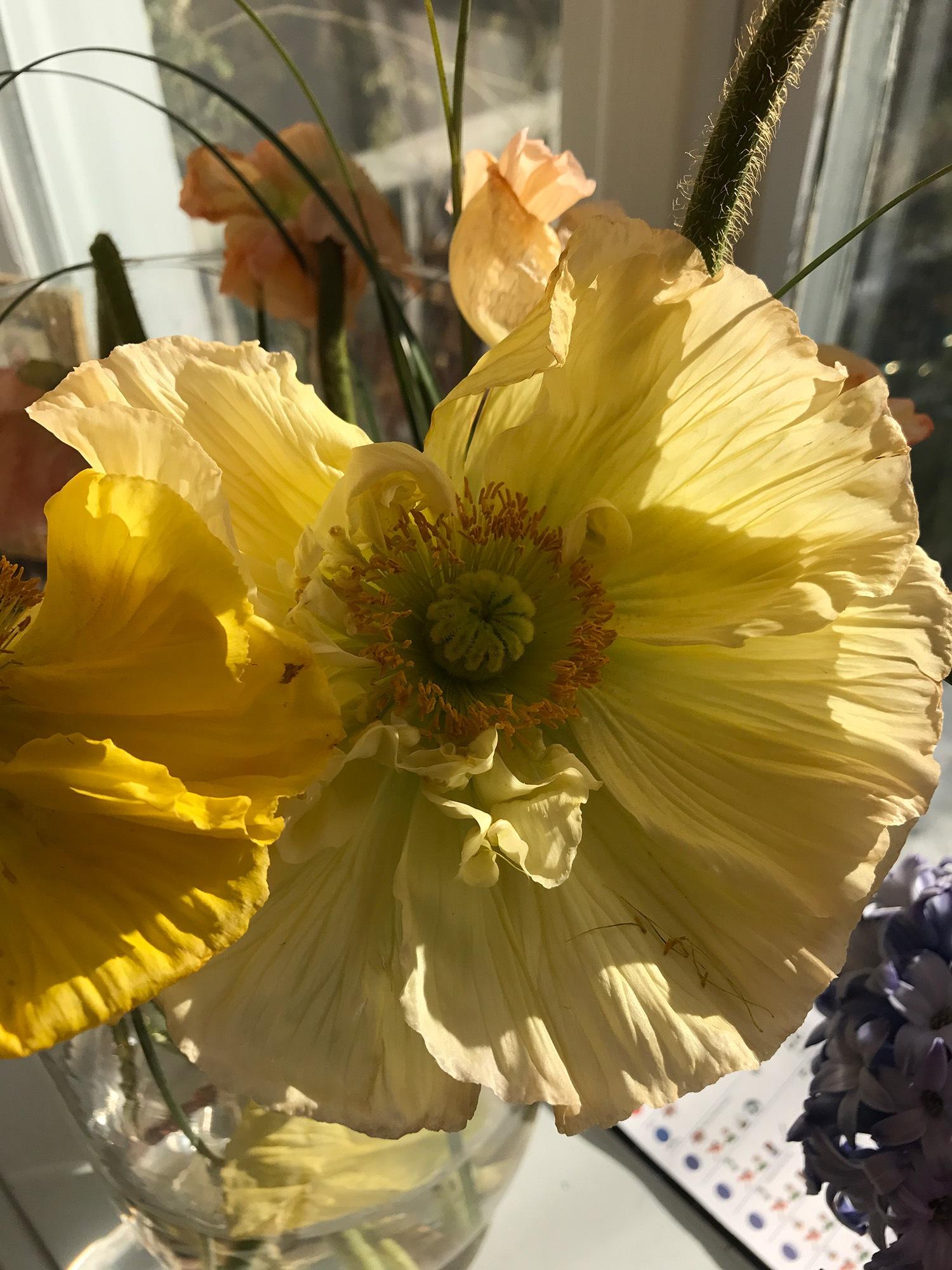 Yellow Poppy by Andrea Papageorgiu