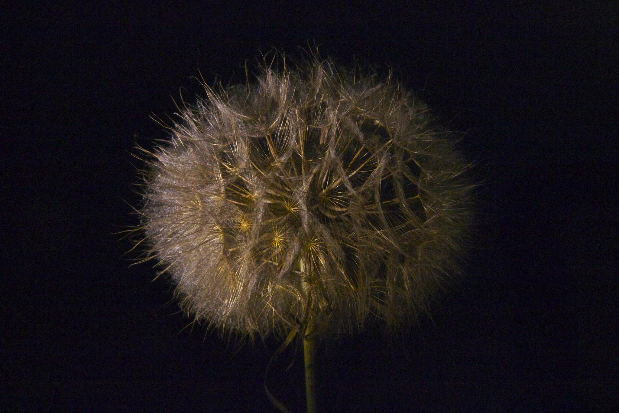 dandelion by Azucena Kouwenhoven
