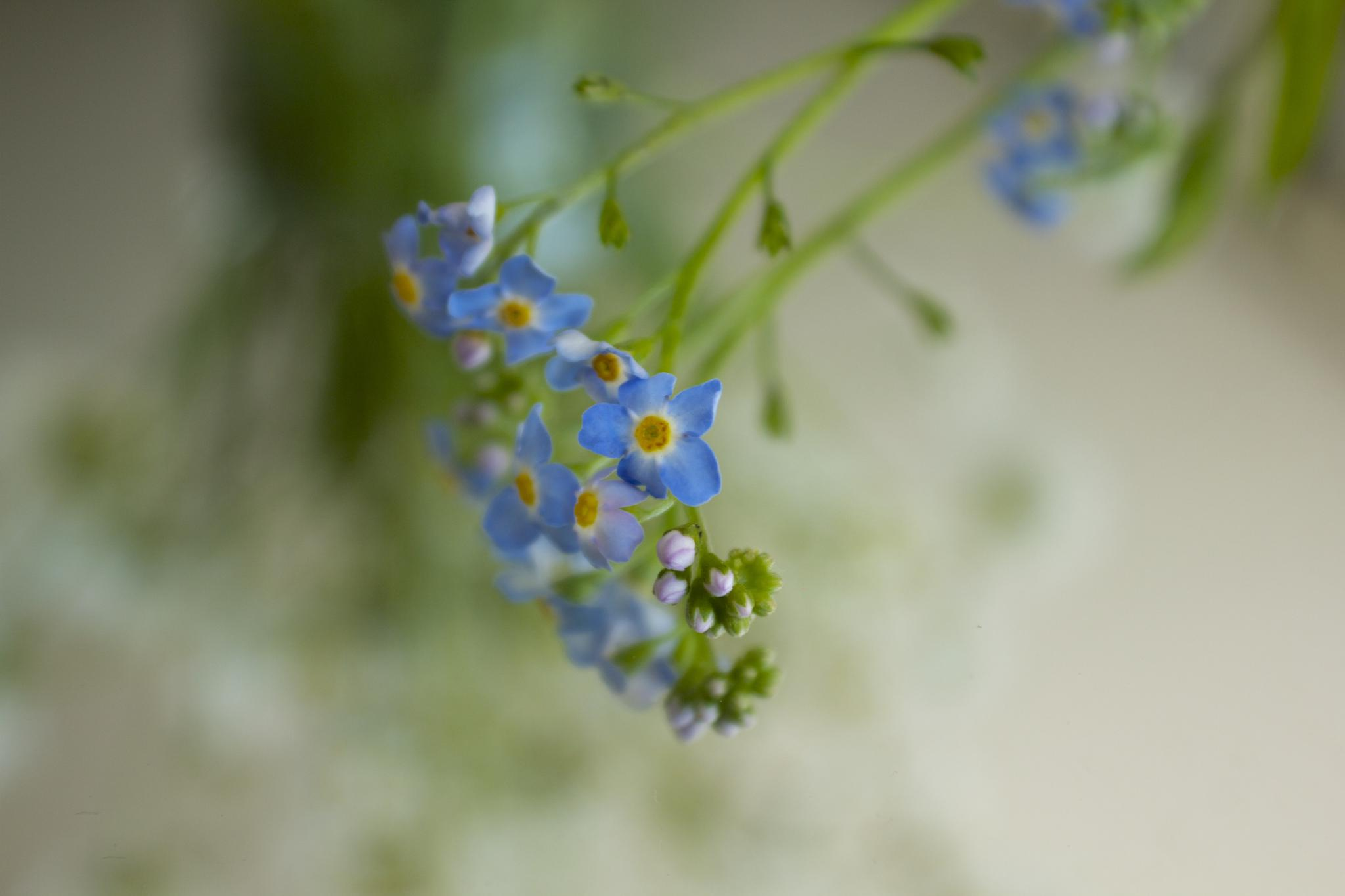 forget me not by Azucena Kouwenhoven