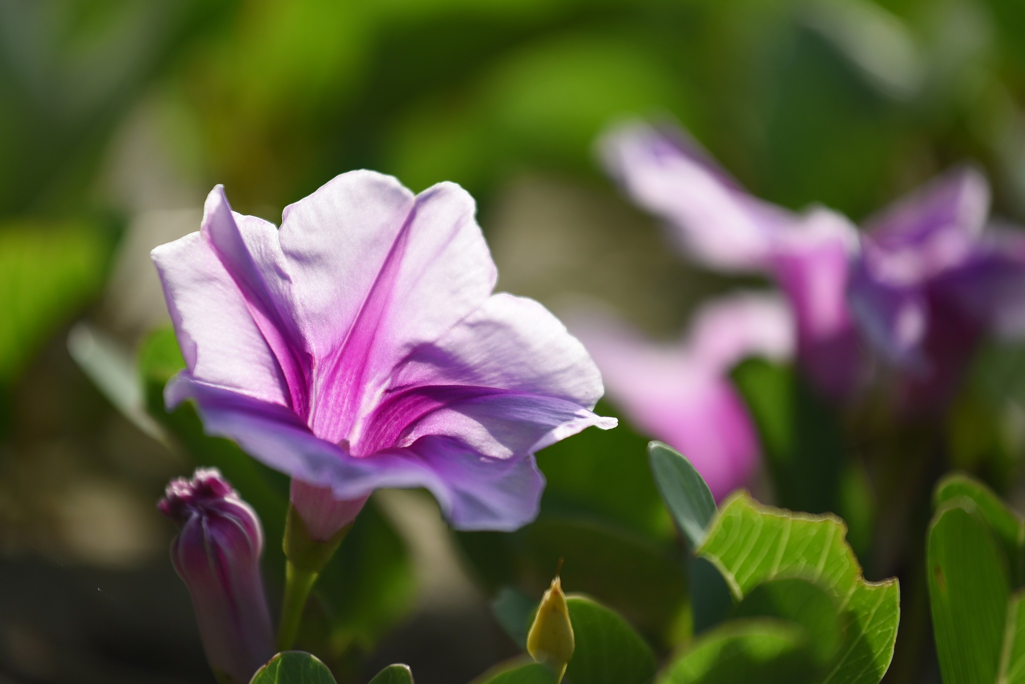 beach morning glory by lequangchi