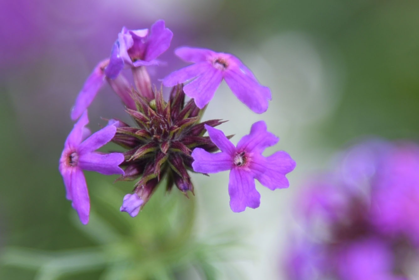 purple flowers by lequangchi