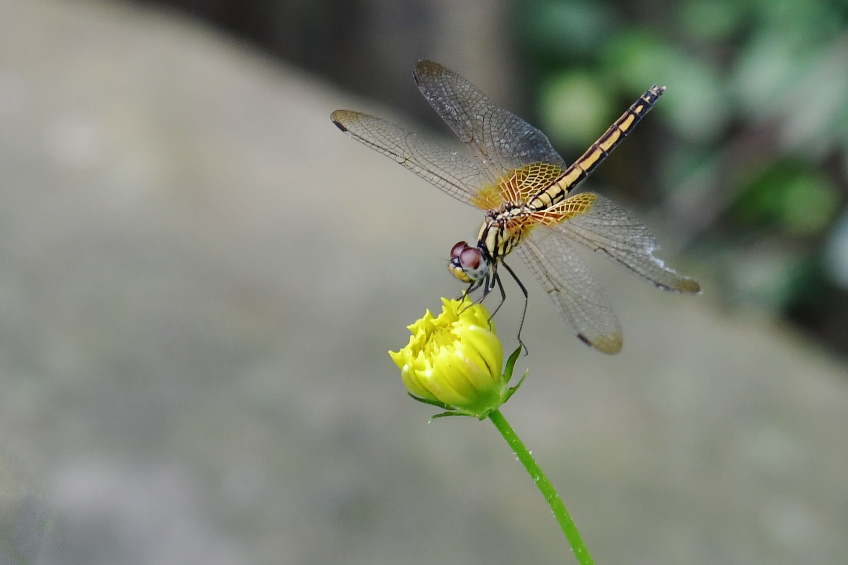 dragonfly by lequangchi