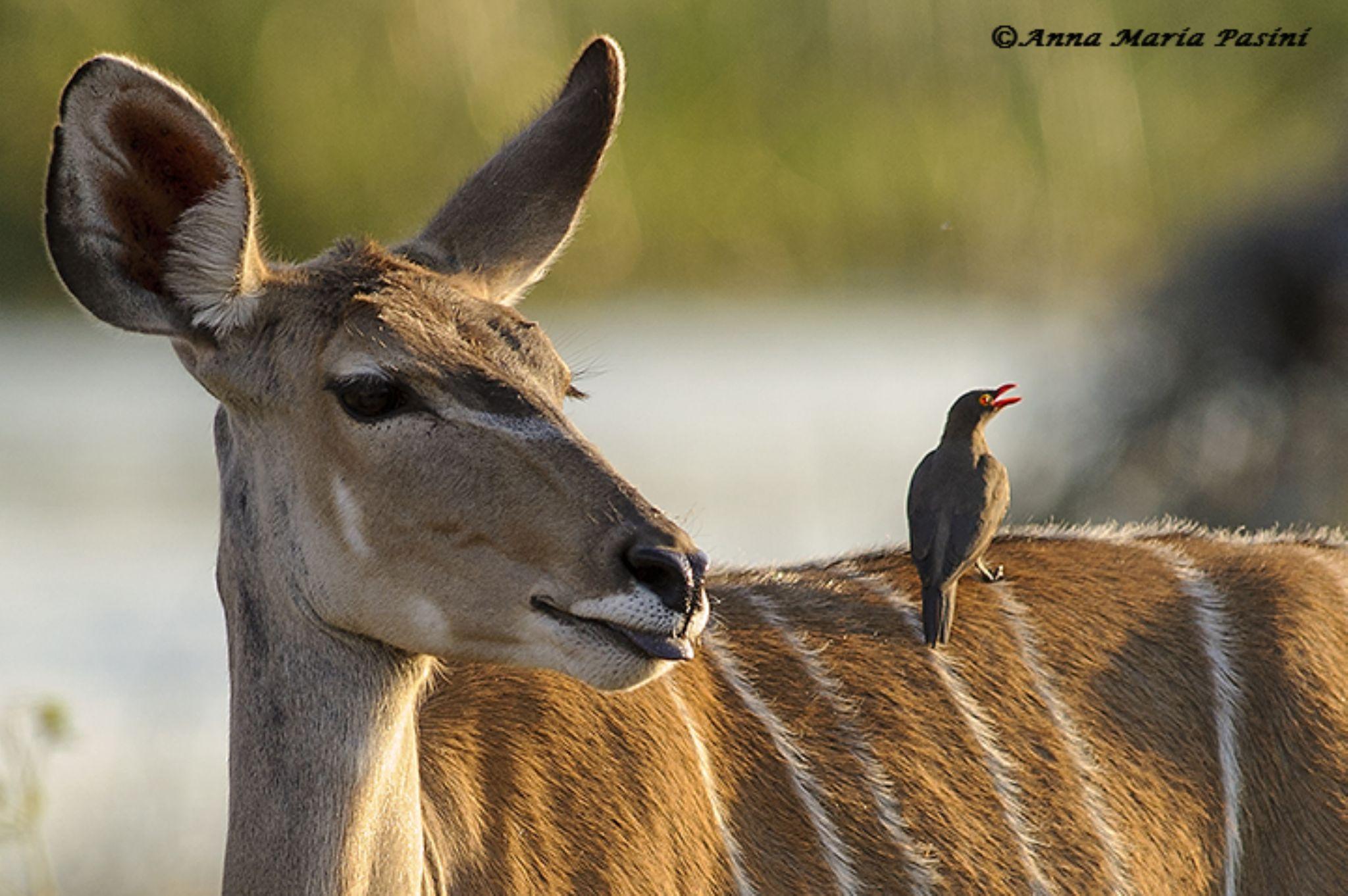 Kudu e bufaga by annamariapasini