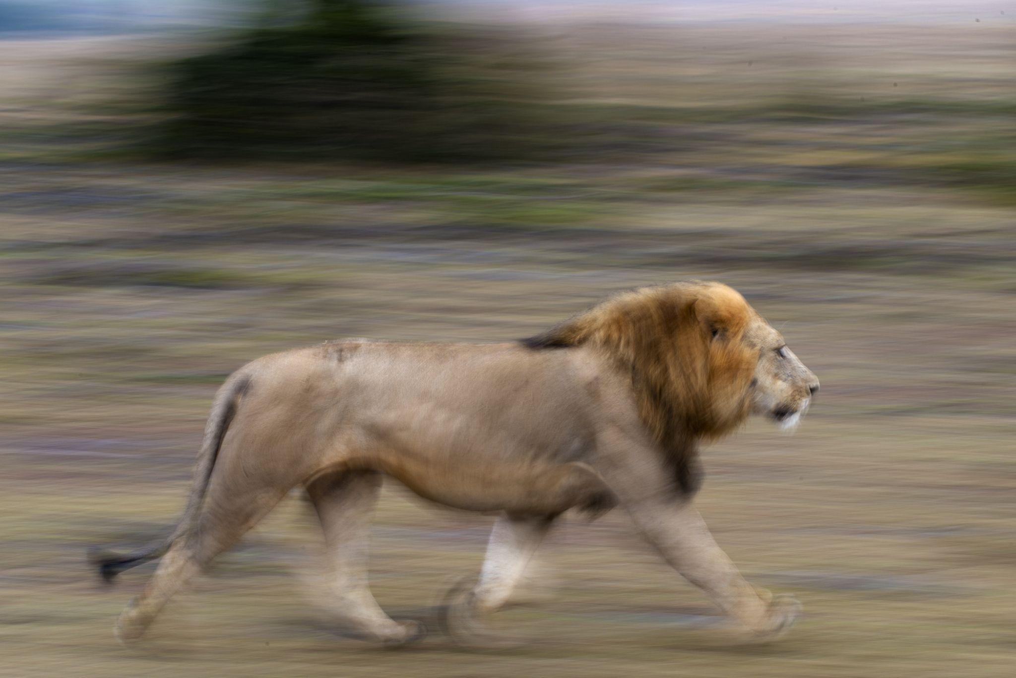 La corsa del leone by annamariapasini