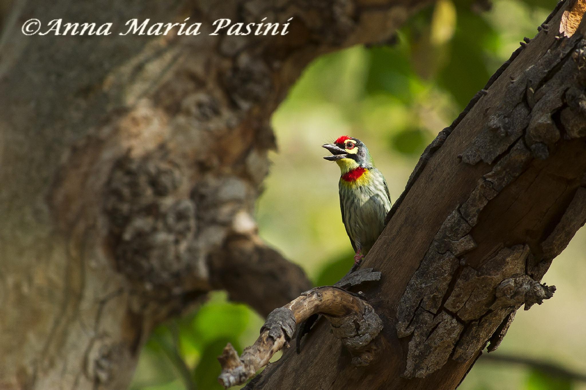 Barbuto fabbro (Psilopogon haemacephalus)-Ranthanbore N.P. by annamariapasini