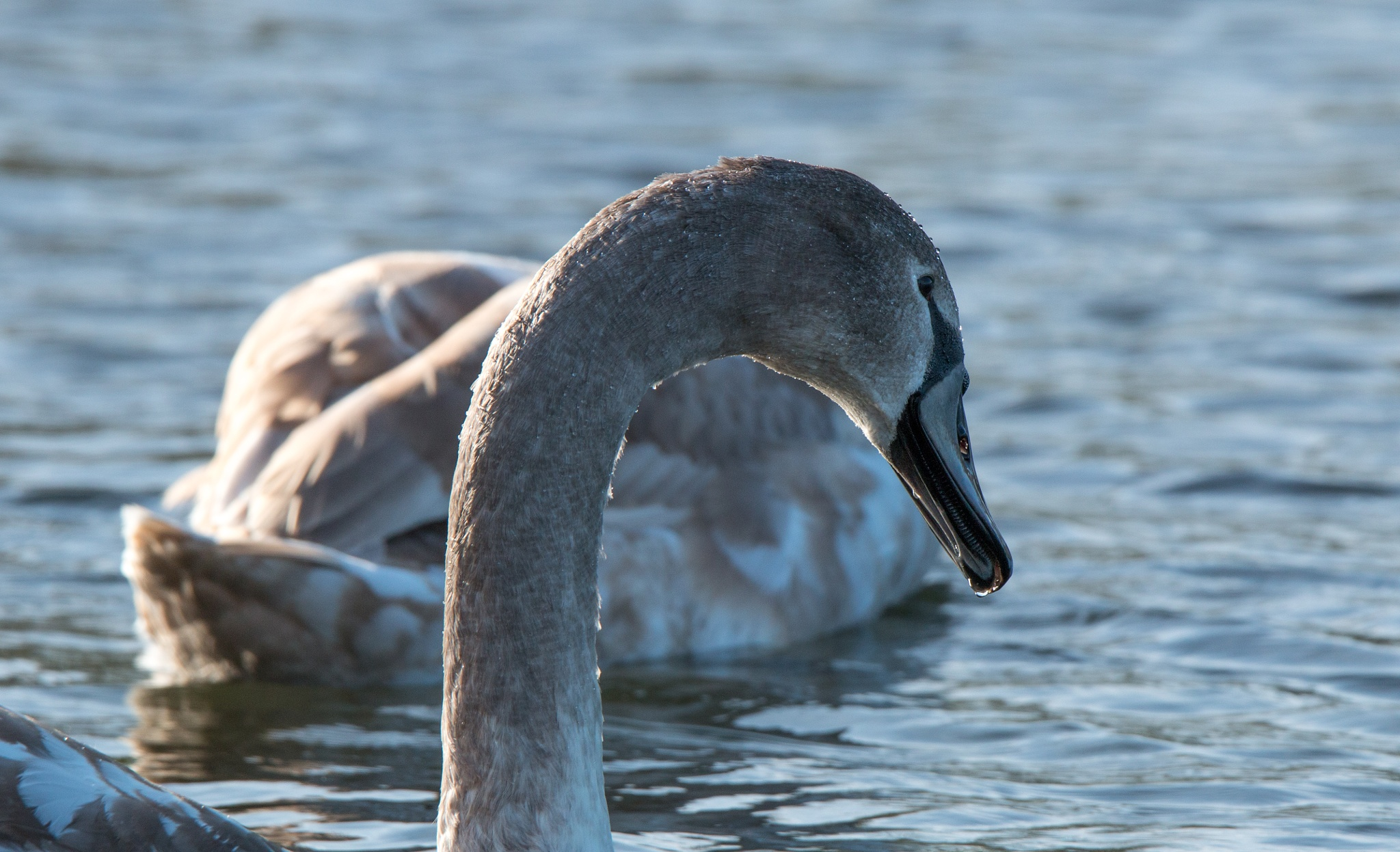 Swan lake by Maurice Welling