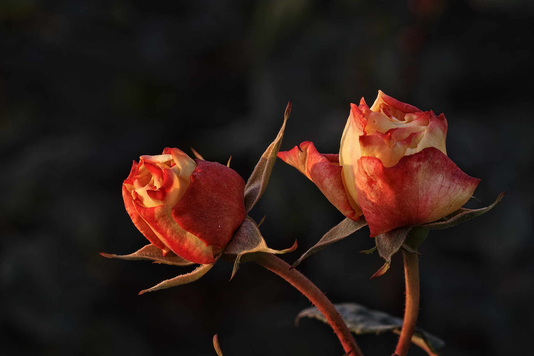 Photo in Nature #turkey #istanbul #roses #sigma sd1 merrill