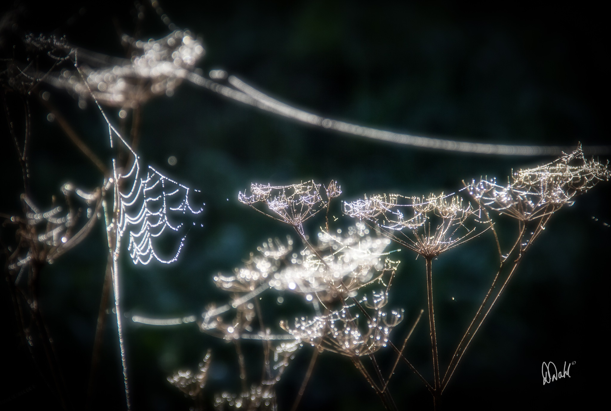 Queen Anne's Lace bespeckled with Jewels by dianedoneit