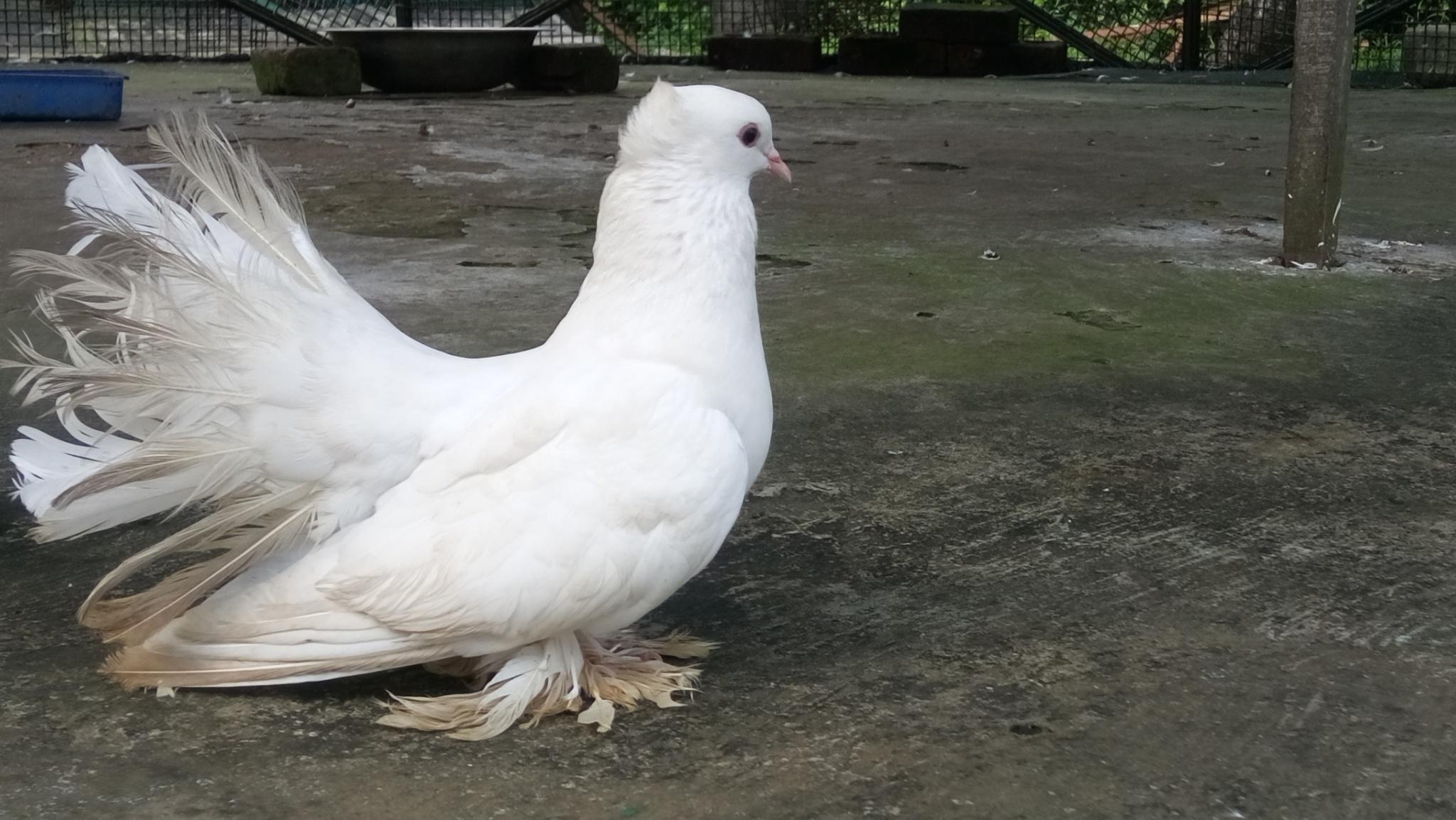 Pigeon by Prashant Singh