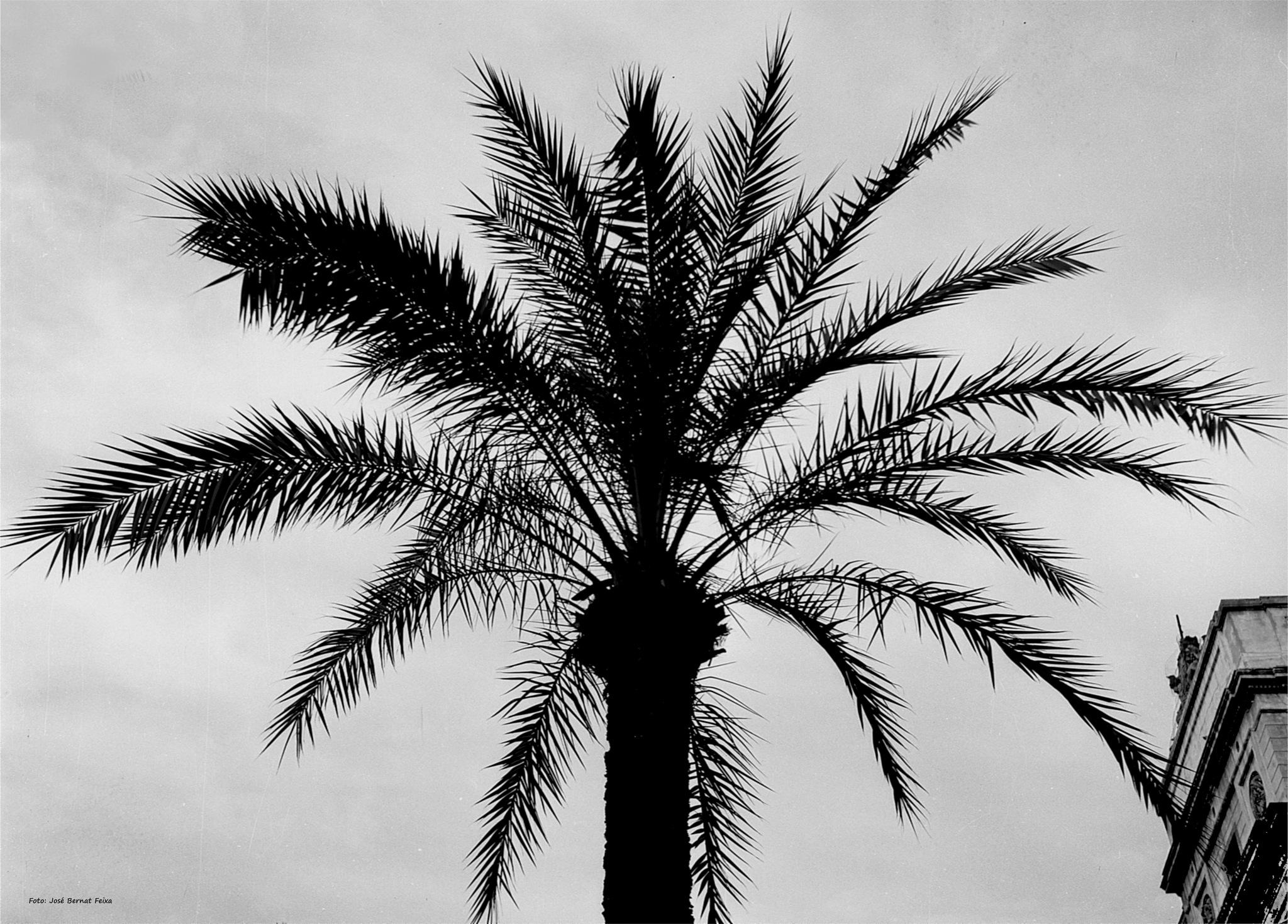 PALMERA ; PALMBOOM ; PALM TREE (60's) by José Bernat Feixa