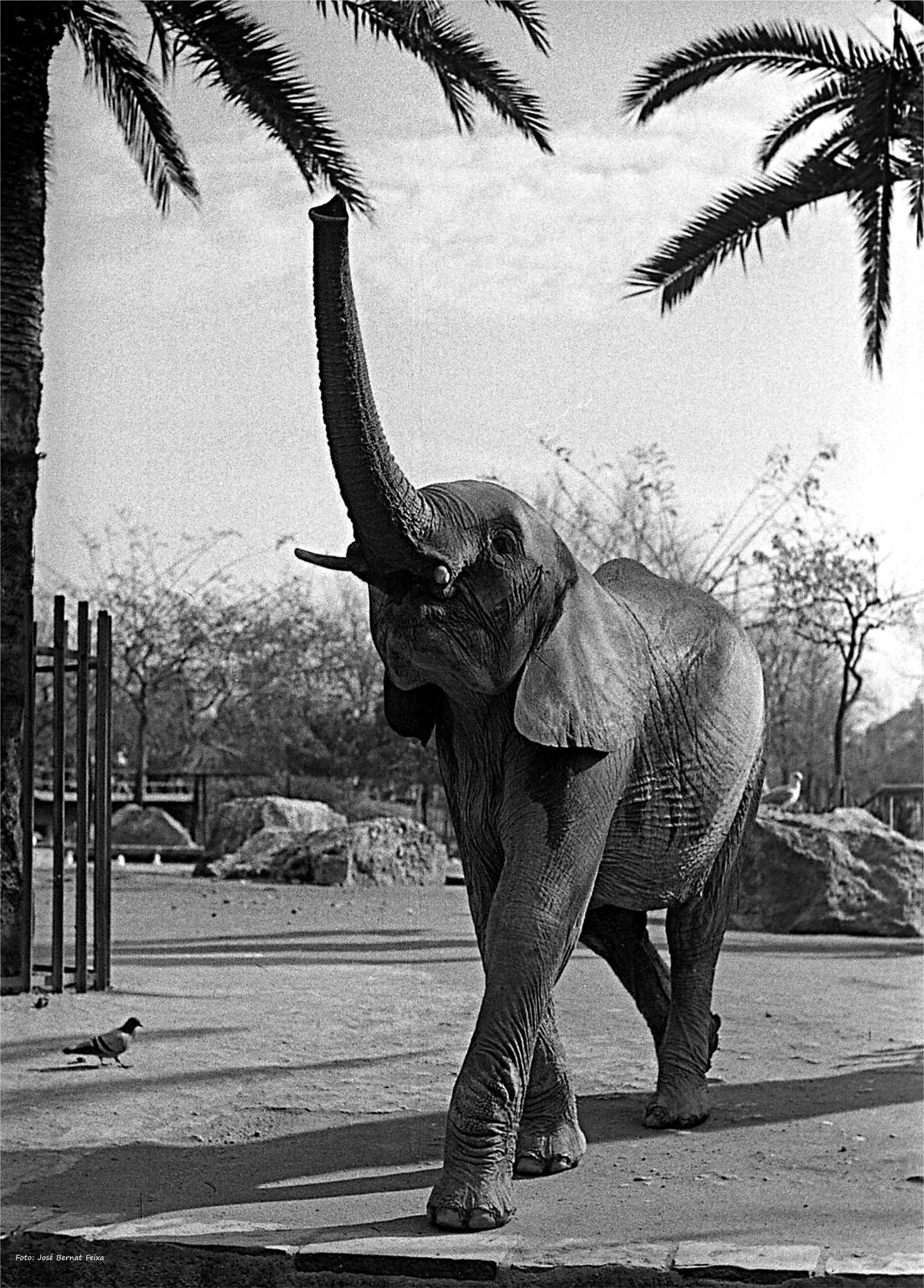 ELEFANTE JOVEN; JONGE OLIFANT; YOUNG ELEPHANT (60's) by José Bernat Feixa