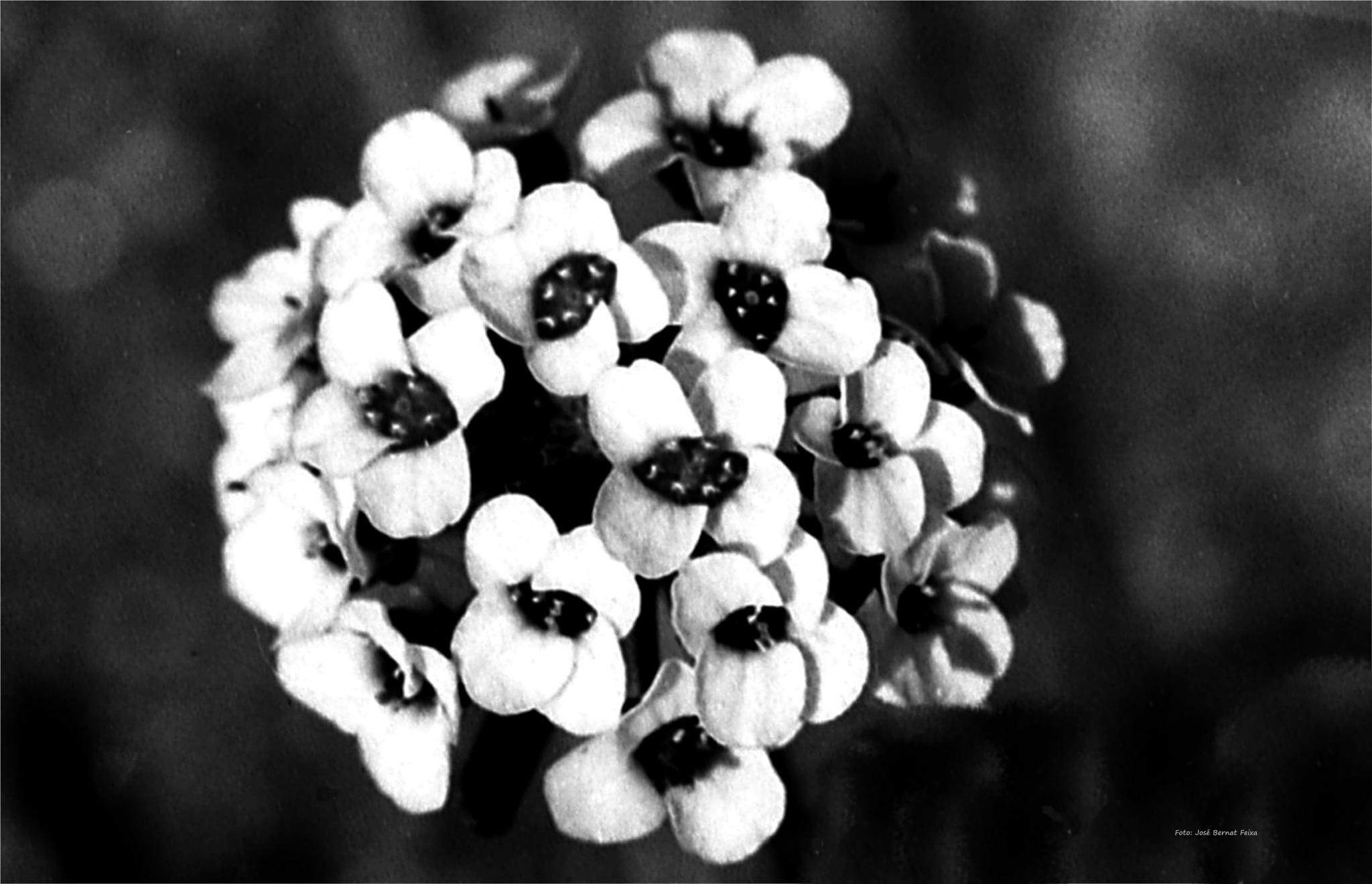 FLORES ; BLOEMEN ; FLOWERS (60's) by José Bernat Feixa