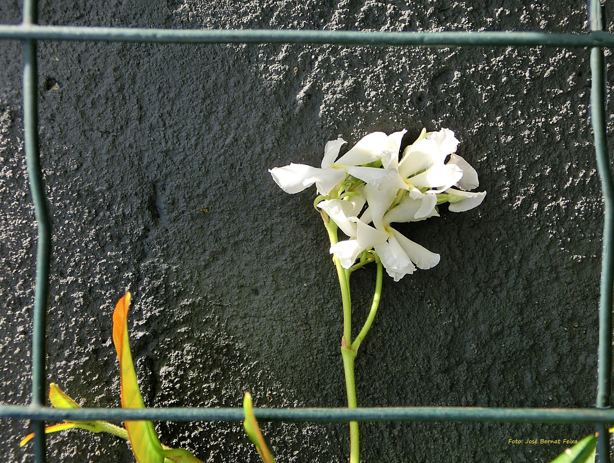 FLOR ENMARCADA ; INGELIJSTE BLOEM ; FRAMED FLOWER by José Bernat Feixa