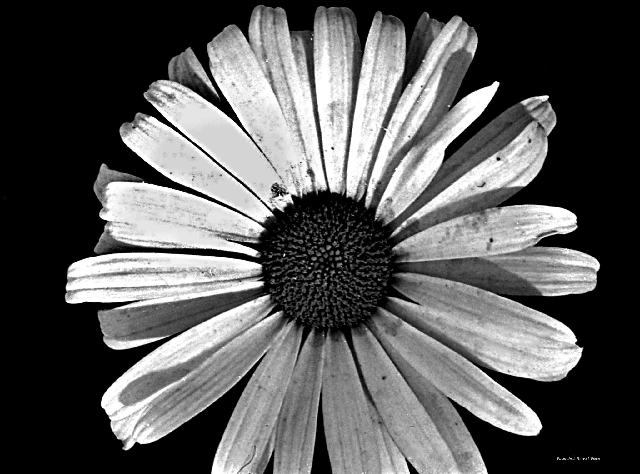 FLOR; BLOEM; FLOWER (60's) by José Bernat Feixa