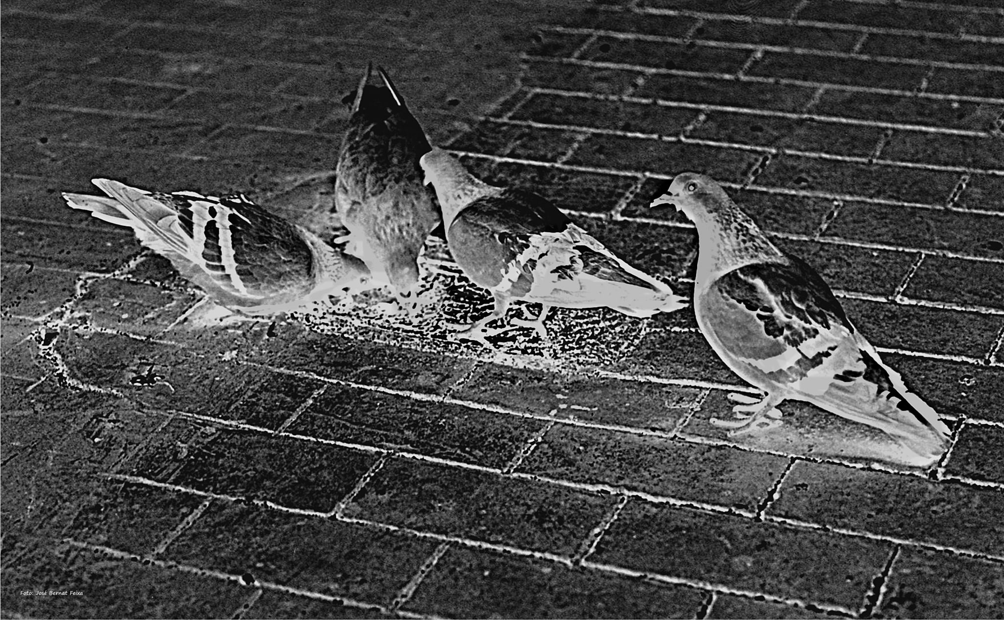 PALOMAS; DUIVEN; PIGEONS (60's) by José Bernat Feixa