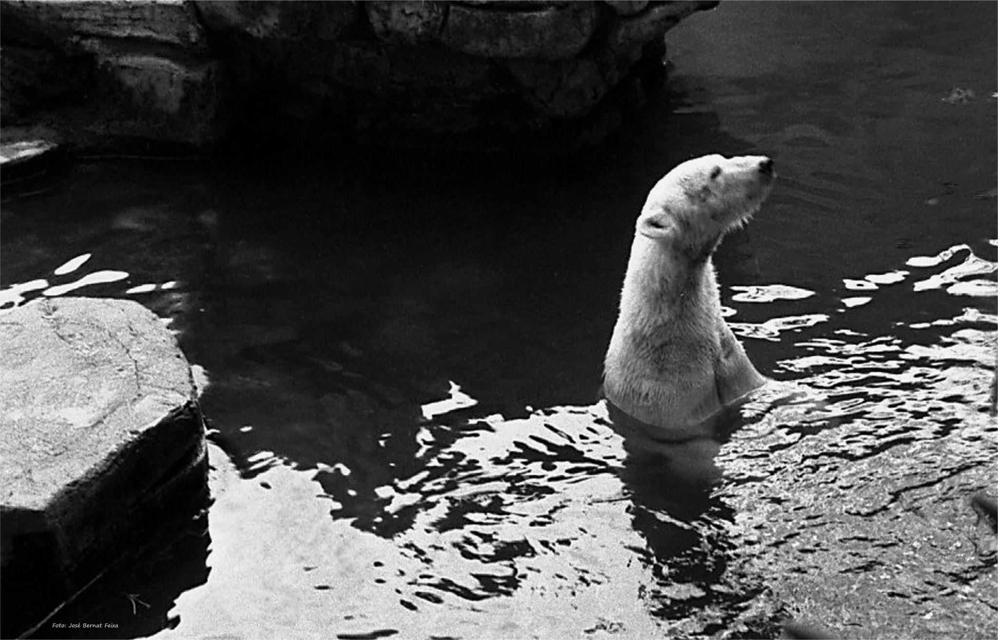 OSO POLAR; IJSBEER; POLAR BEAR (60's) by José Bernat Feixa
