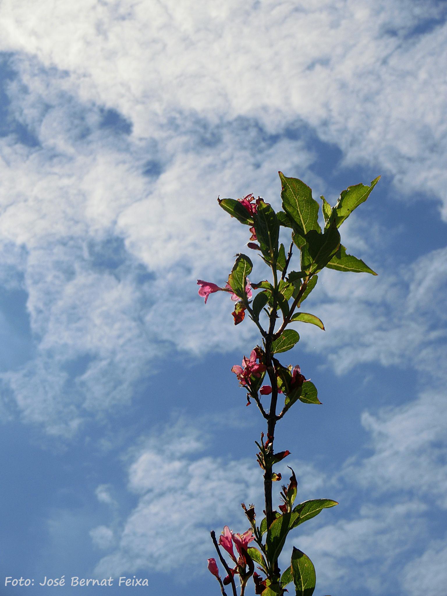 FLORES Y NUBES, BLOEMEN EN WOLKEN, FLOWERS AND CLOUDS, Koudekerke  by José Bernat Feixa