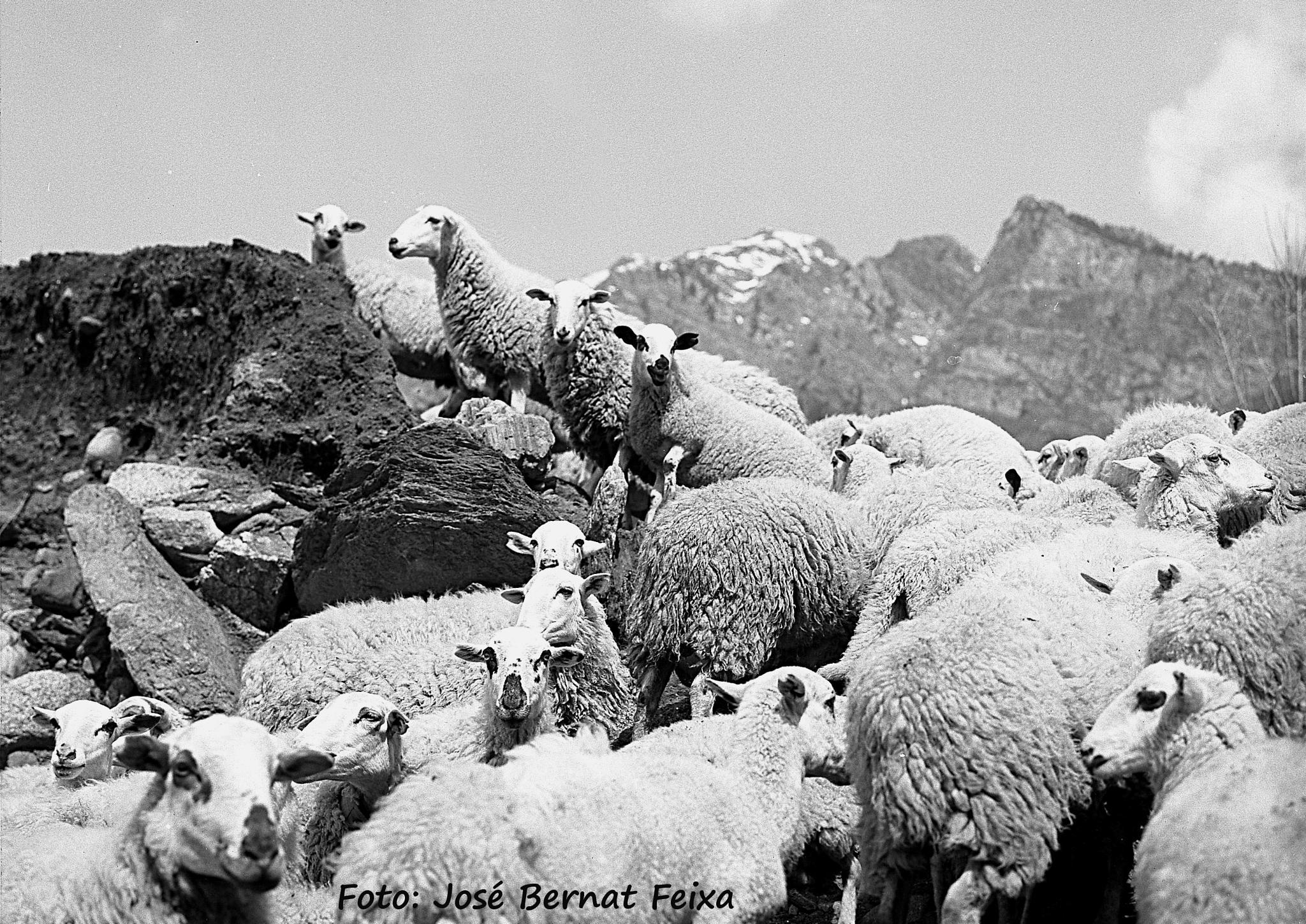 OVEJAS, SCHAPEN, SHEEPS, Caldas de Bohí by José Bernat Feixa