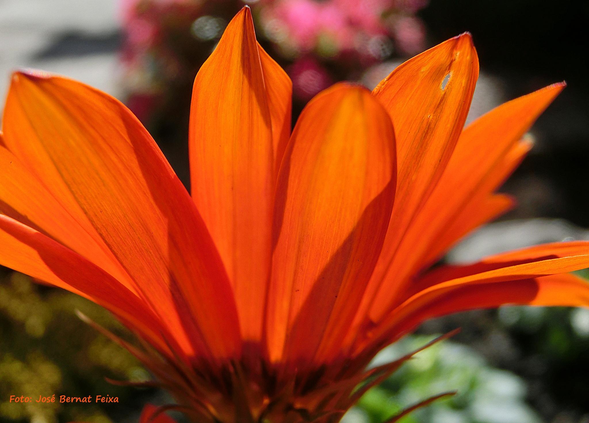 FLOR A CONTRALUZ, BLOEM MET TEGENLICHT, FLOWER BACKLIGHT by José Bernat Feixa