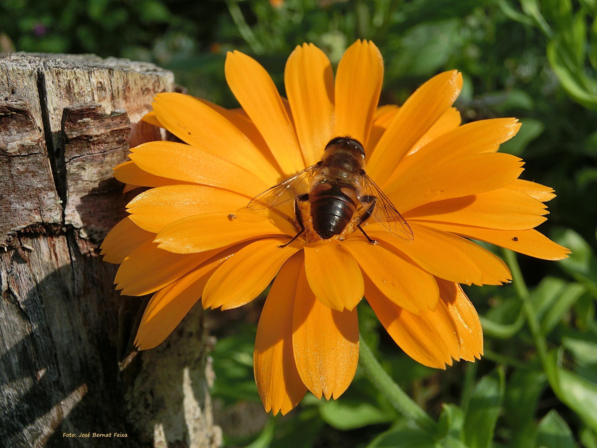 FLOR Y ABEJA; BLOEM EN BIJ; FLOWER AND BEE by José Bernat Feixa