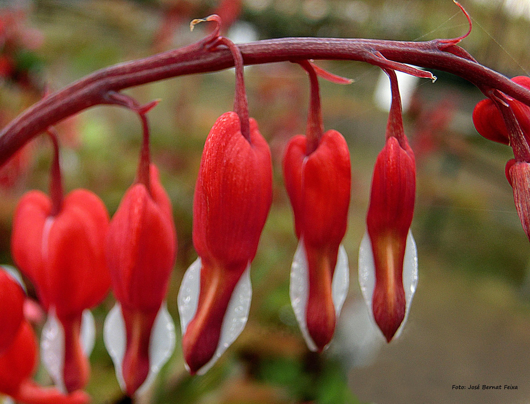 FLORES PRIMAVERALES; LENTEBLOEMEN; SPRING FLOWERS -Macro- by José Bernat Feixa