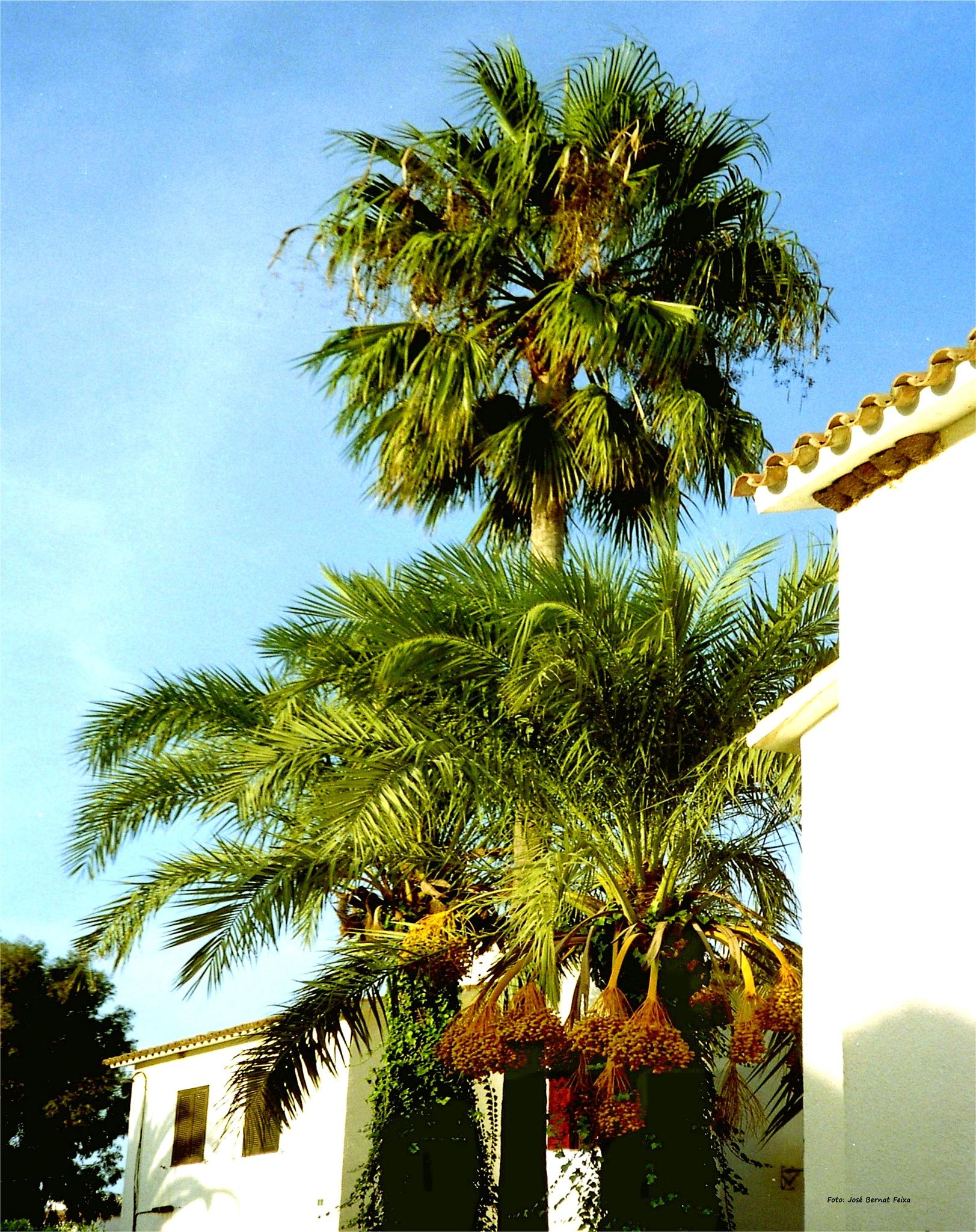 PALMERAS ; PALMBOMEN ; PALM TREES by José Bernat Feixa