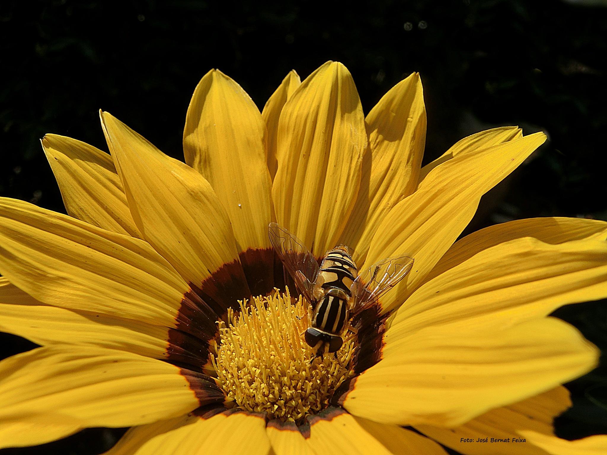 FLOR Y ABEJA; BLOEM EN BIJ; FLOWER AND BEE --Macro- by José Bernat Feixa