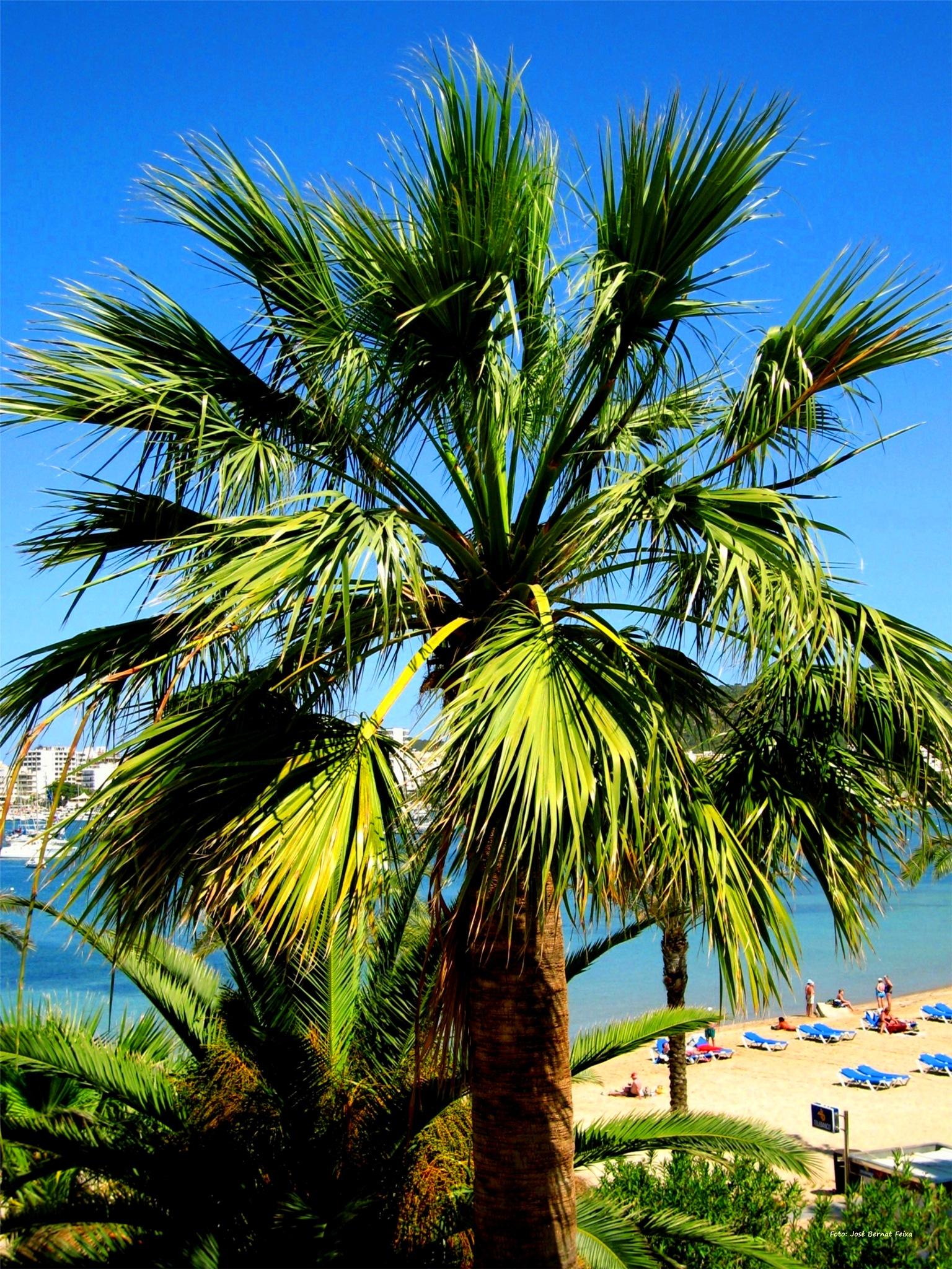 PALMERAS Y PLAYA ; PALMBOMEN EN STRAND ; PALM TREES AND BEACH by José Bernat Feixa