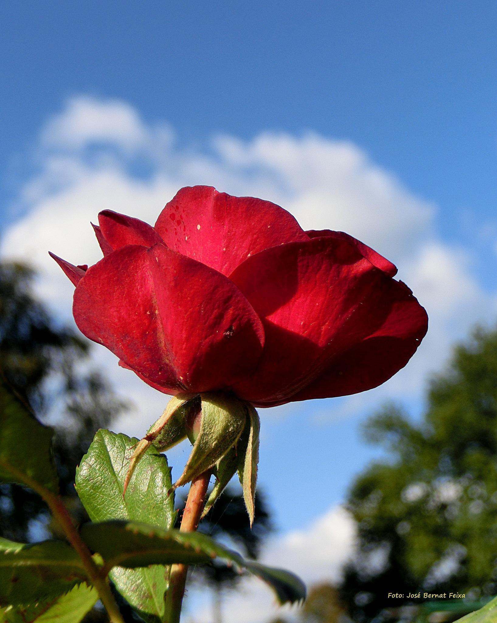 ROSA ROJA; RODE ROOS; RED ROSE by José Bernat Feixa