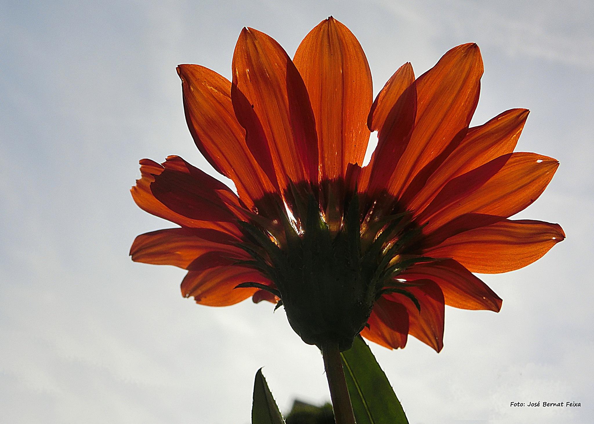 FLOR A CONTRALUZ; BLOEM MET TEGENLICHT; FLOWER WITH BACKLIGHT by José Bernat Feixa