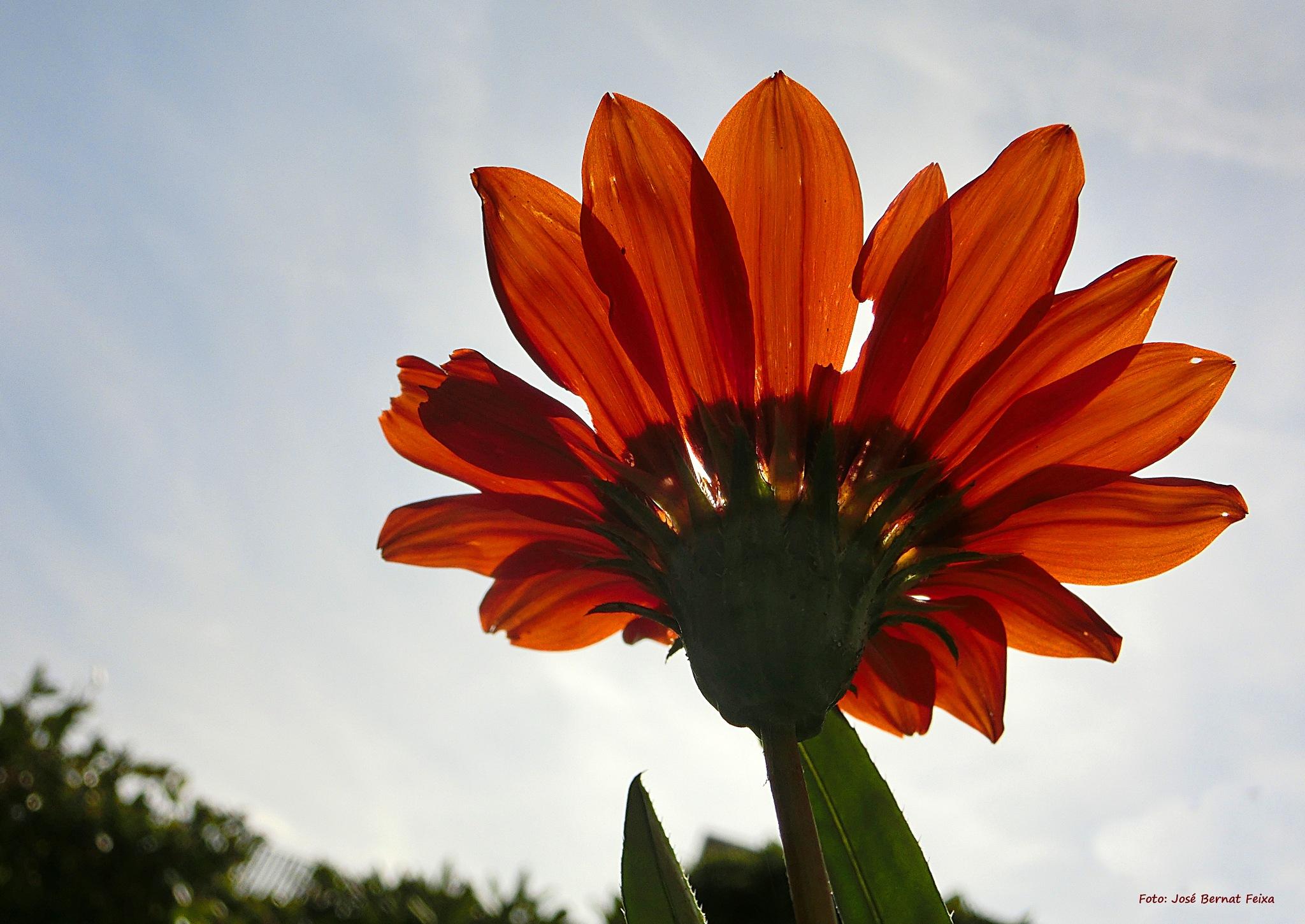 FLOR VISTA DESDE ABAJO; BLOEM VAN ONDERAAN; FLOWER FROM BELOW by José Bernat Feixa