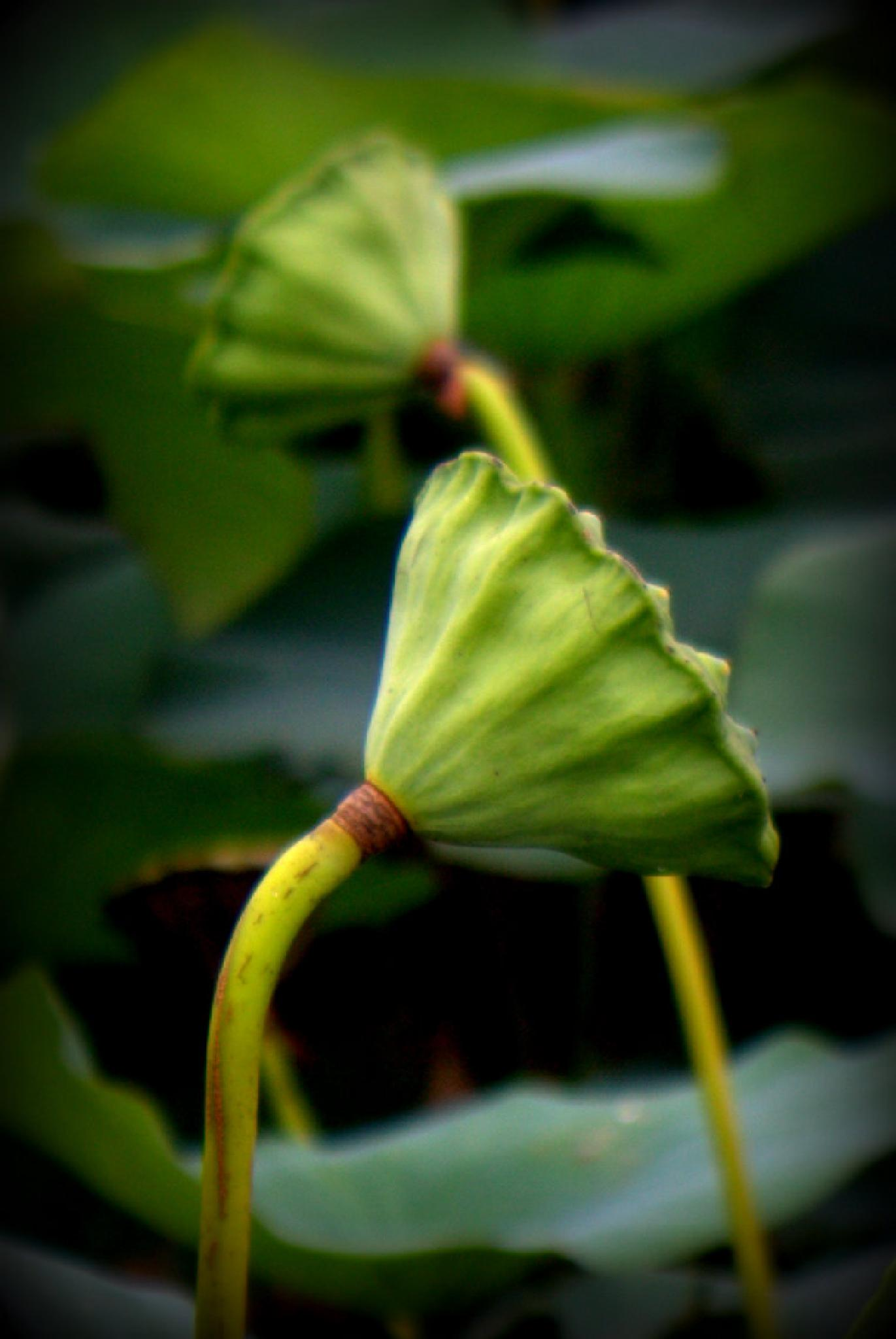 lilly pad bud by Camera Me