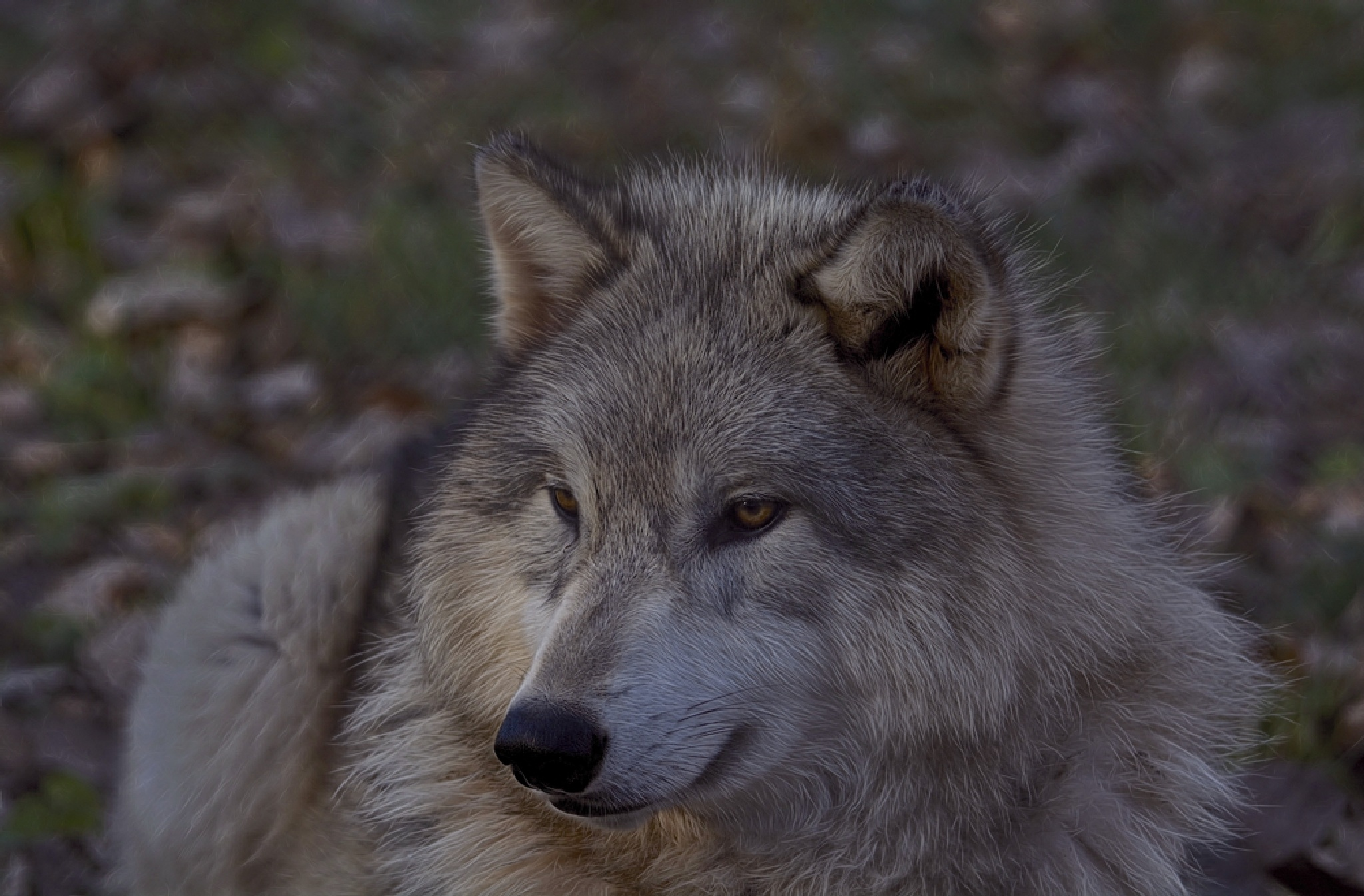 Timber Wolf by djensen