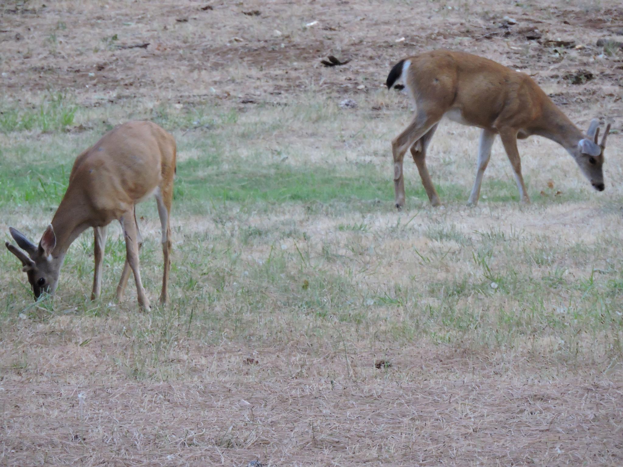 Deer brothers. by KrystaGarrison
