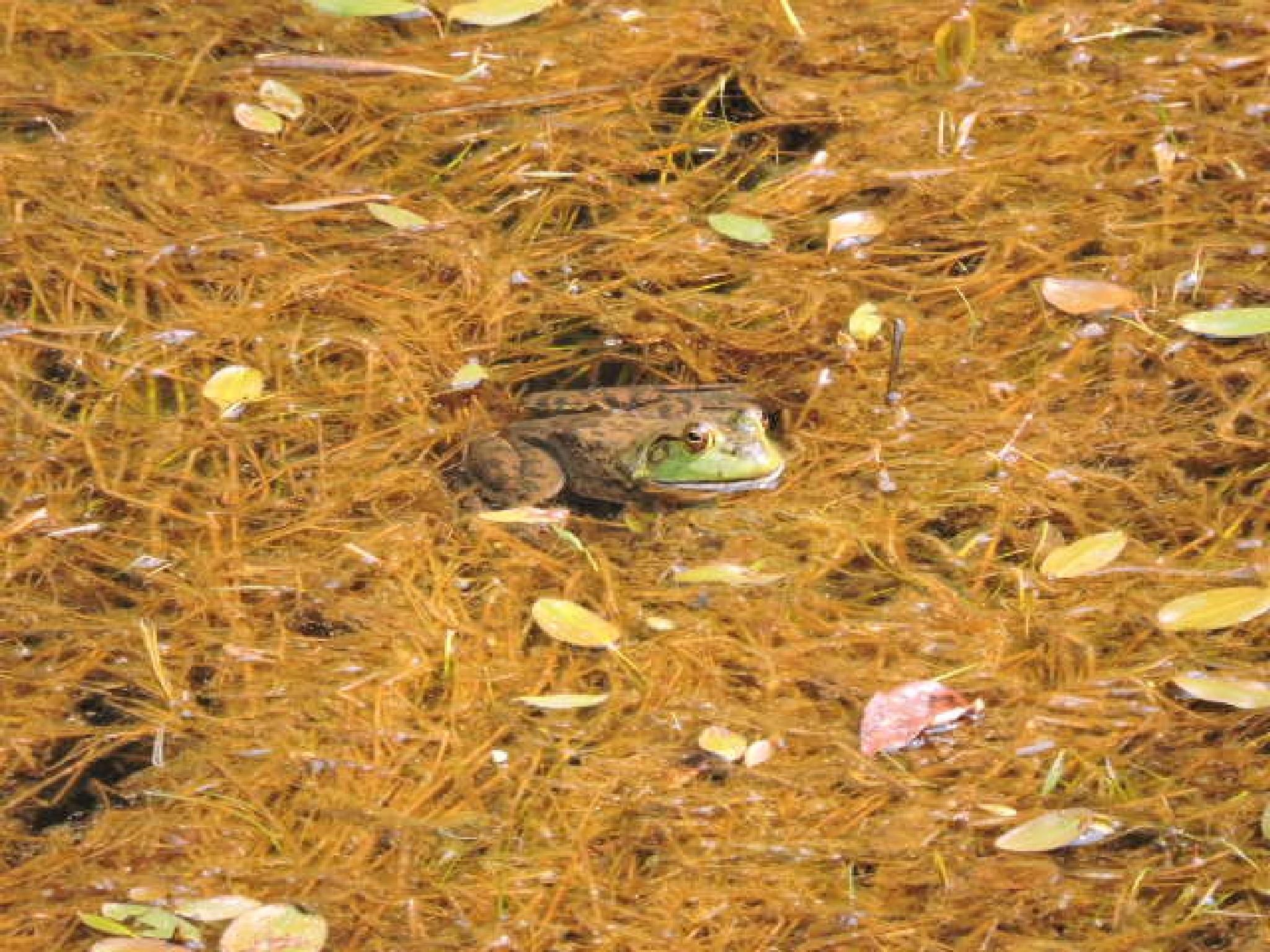 Southern Oregon Bullfrog by KrystaGarrison