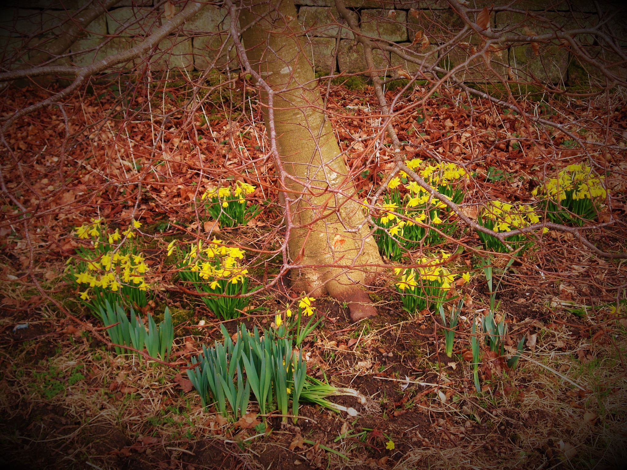 Spring Dafodils by colin.savidge