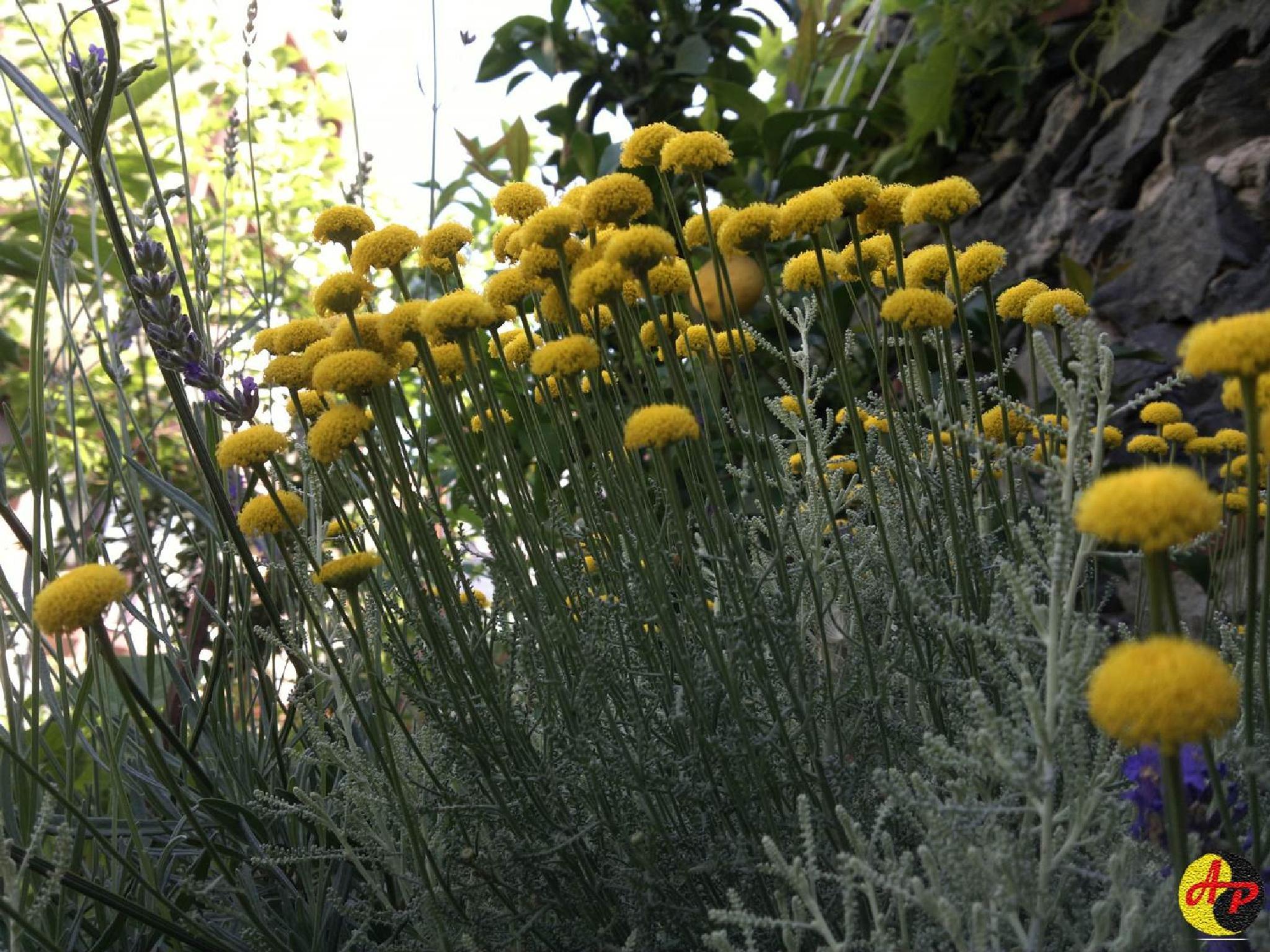 Photo in Nature #natur #flower #santolina #yellow