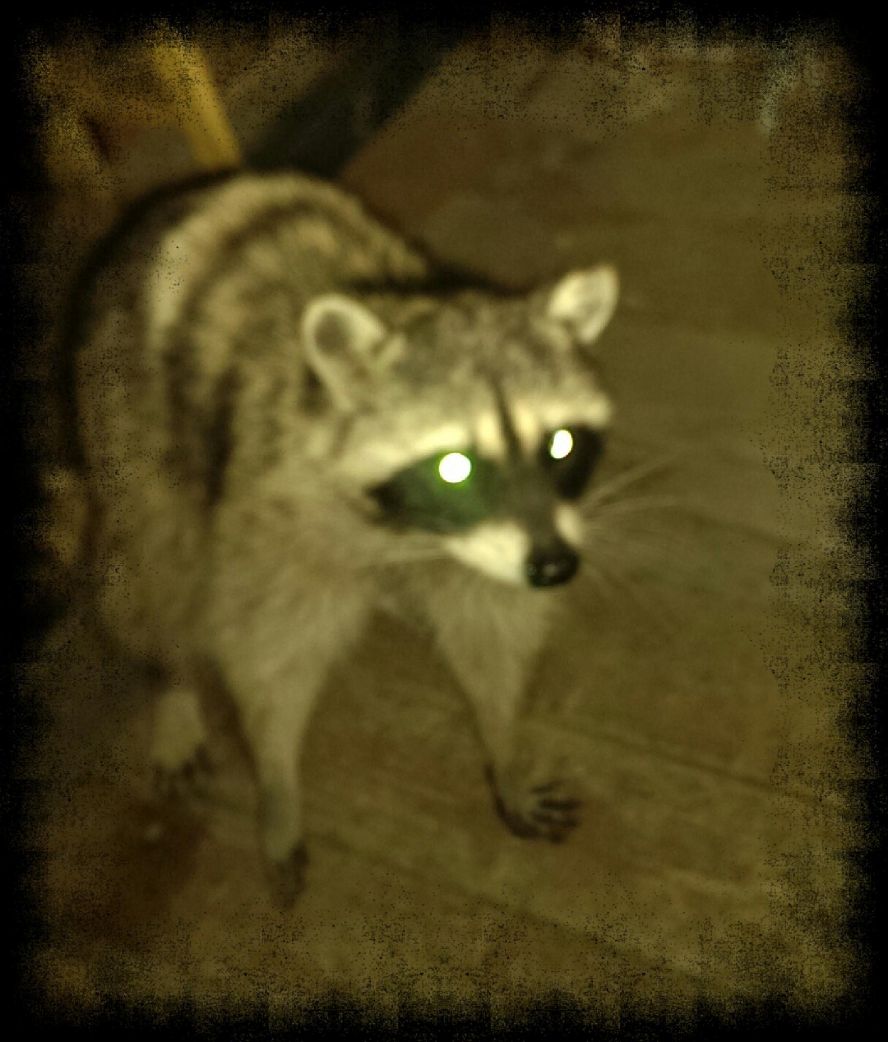 Raccoon by tramilo