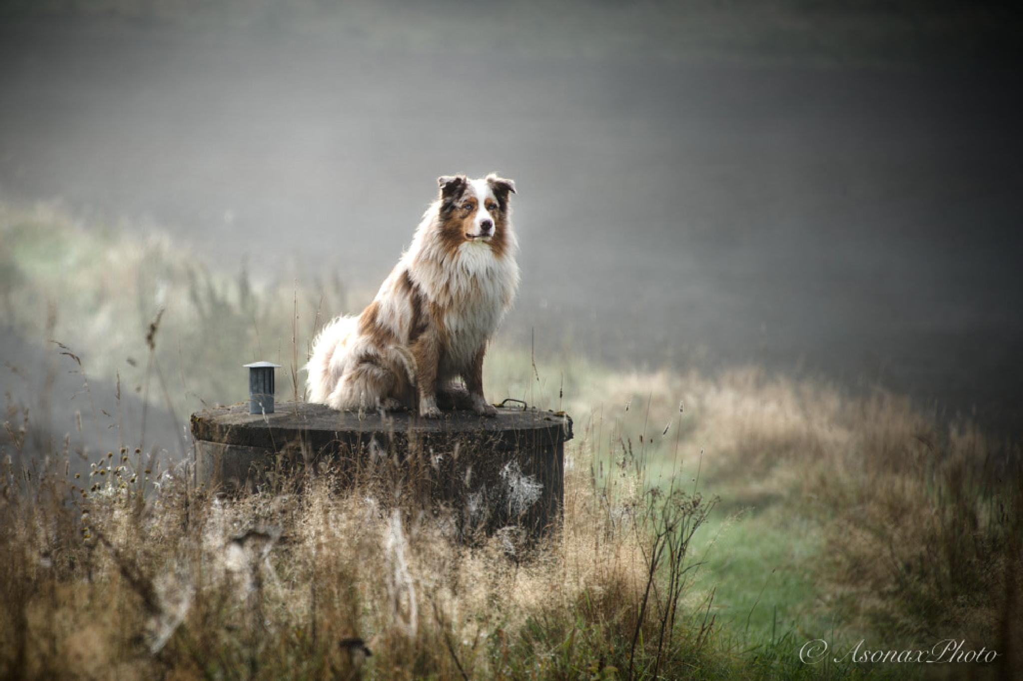 Photo in Animal #ausaustralien shepard #dog #autum #countryside