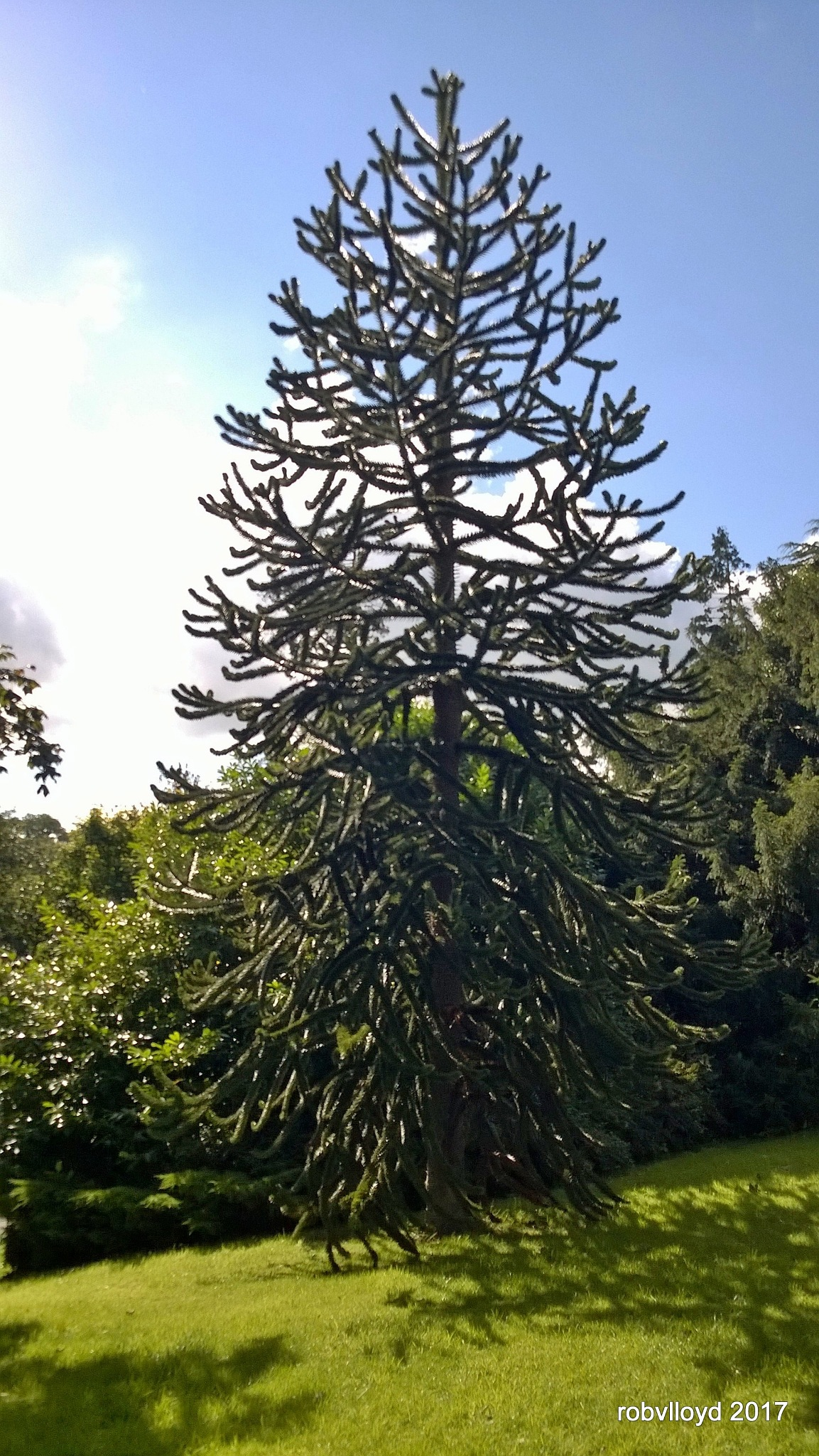 monkey puzzle tree by rob.lloyd.3954