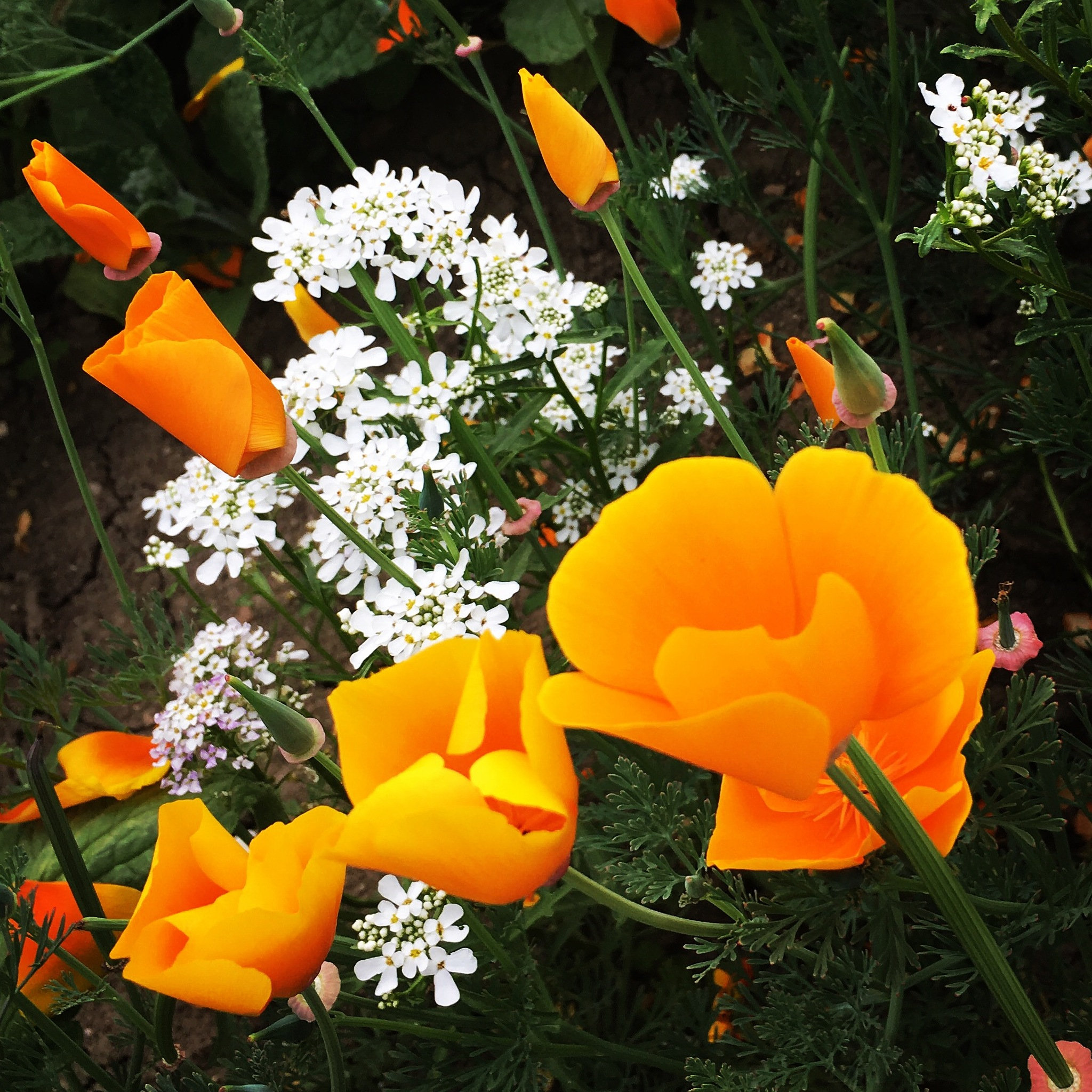 White and orange flowers  by Inman