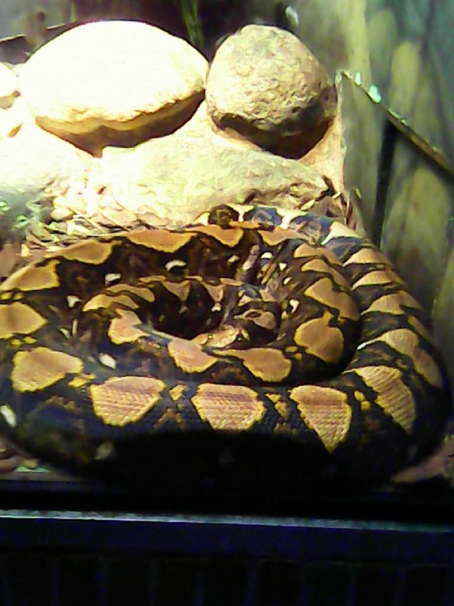 The Eyes & Beauty of THE PYTHON by kelly chance
