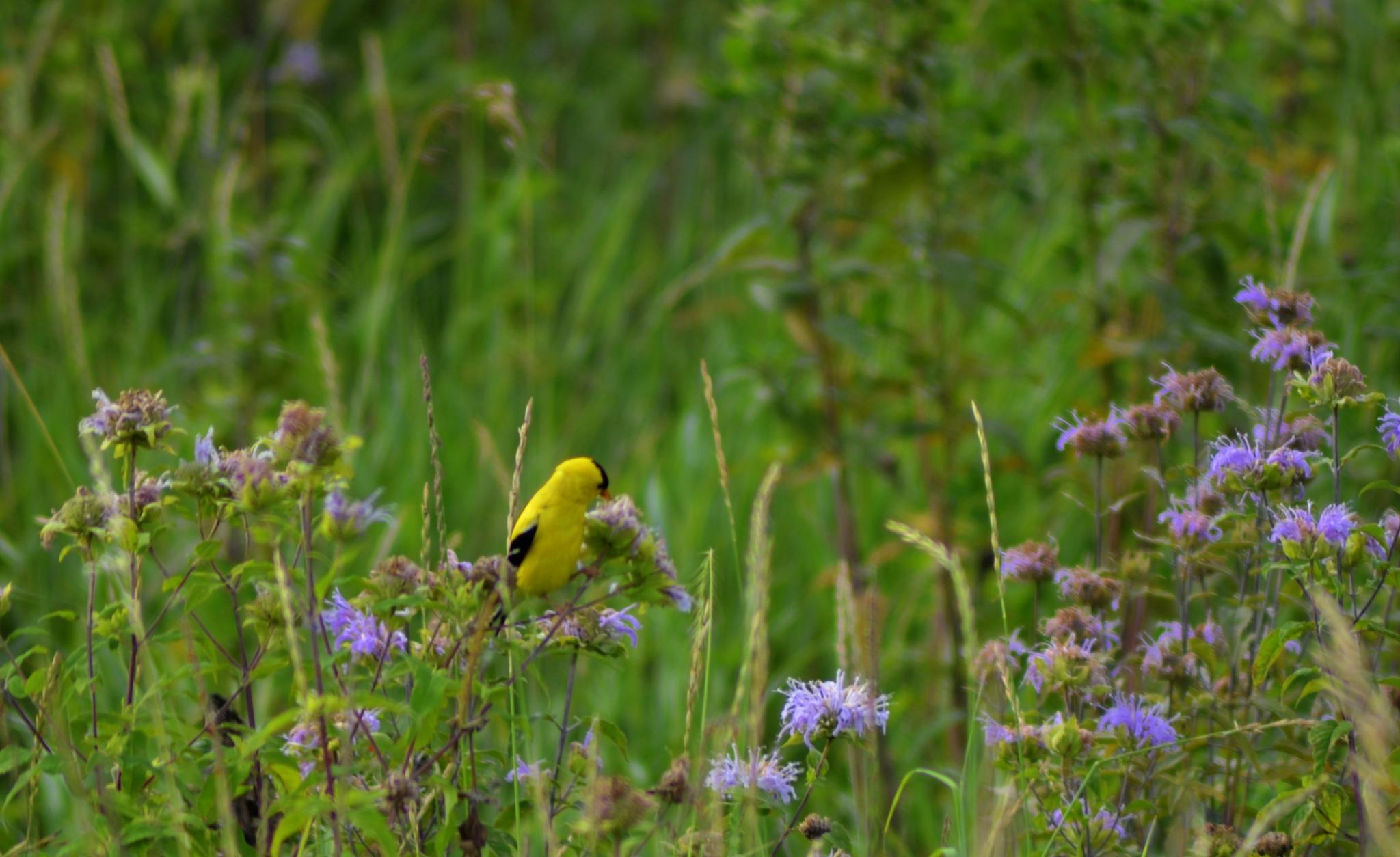 Little Bird by Kimberly Ronan