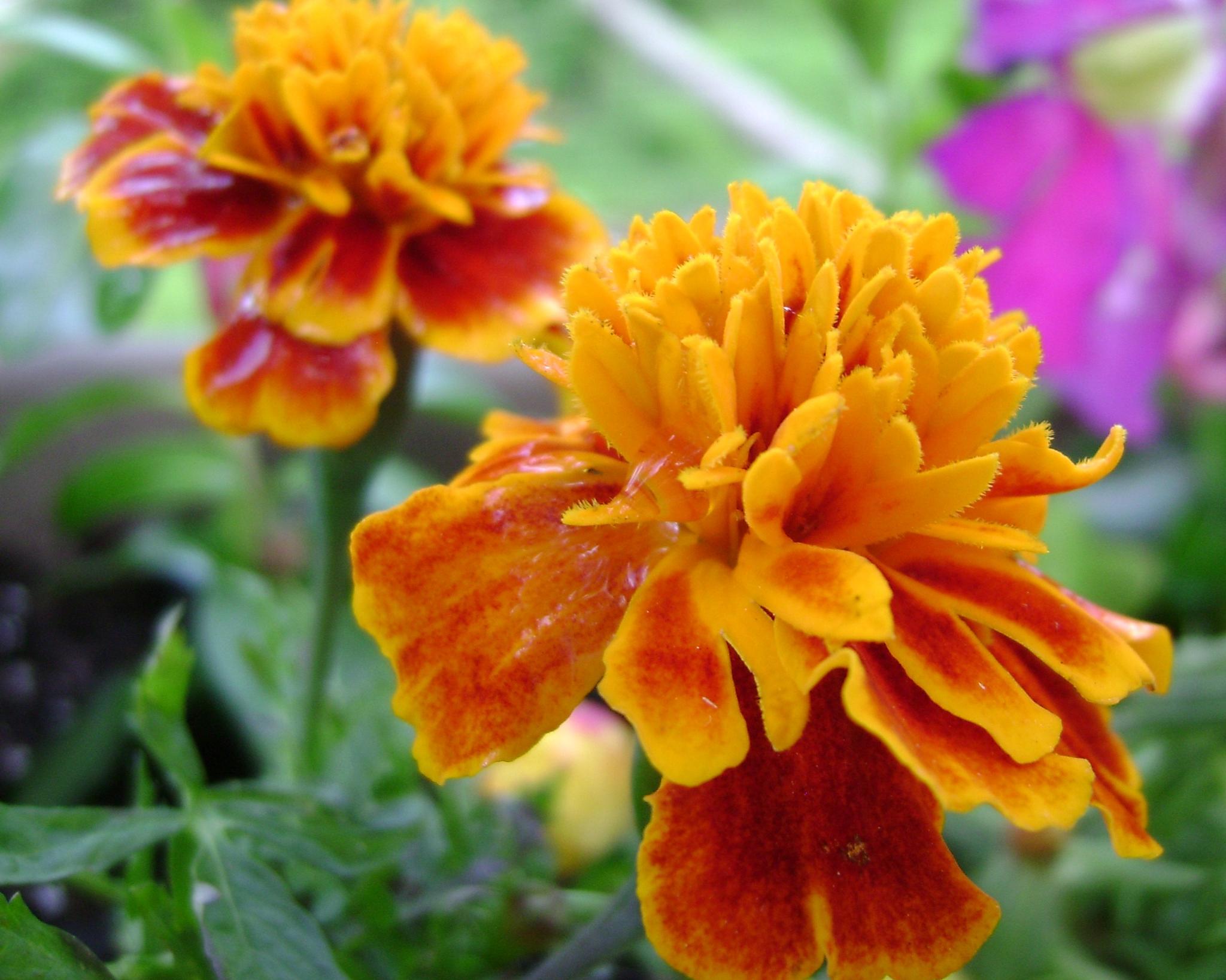 Marigolds with Spring Dew by angela.hatchett.161