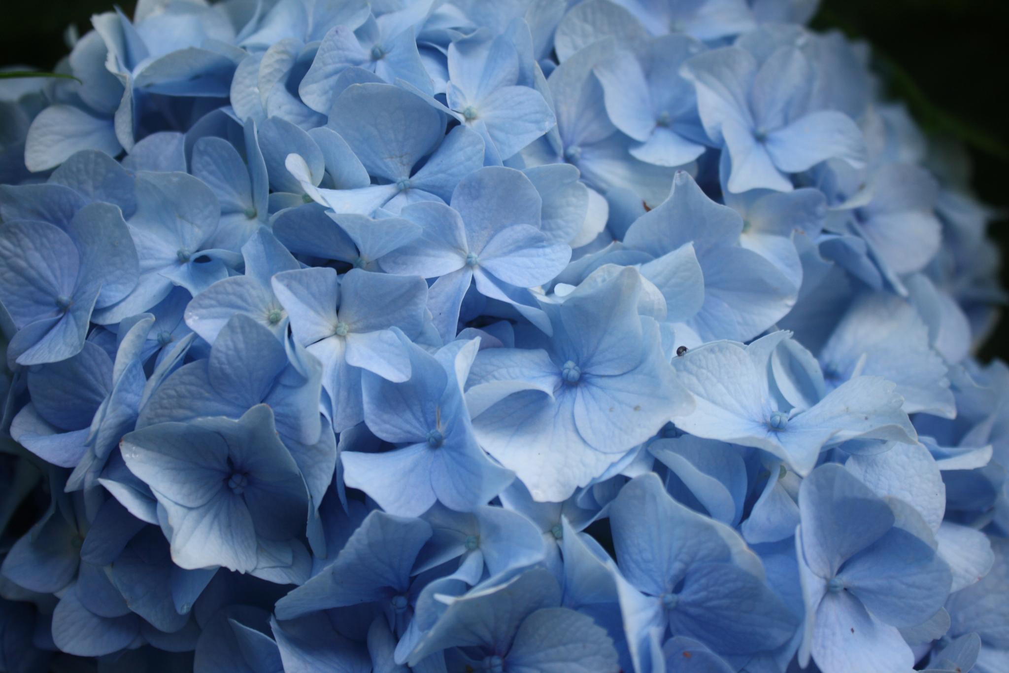 Blue Hydranga by angela.hatchett.161