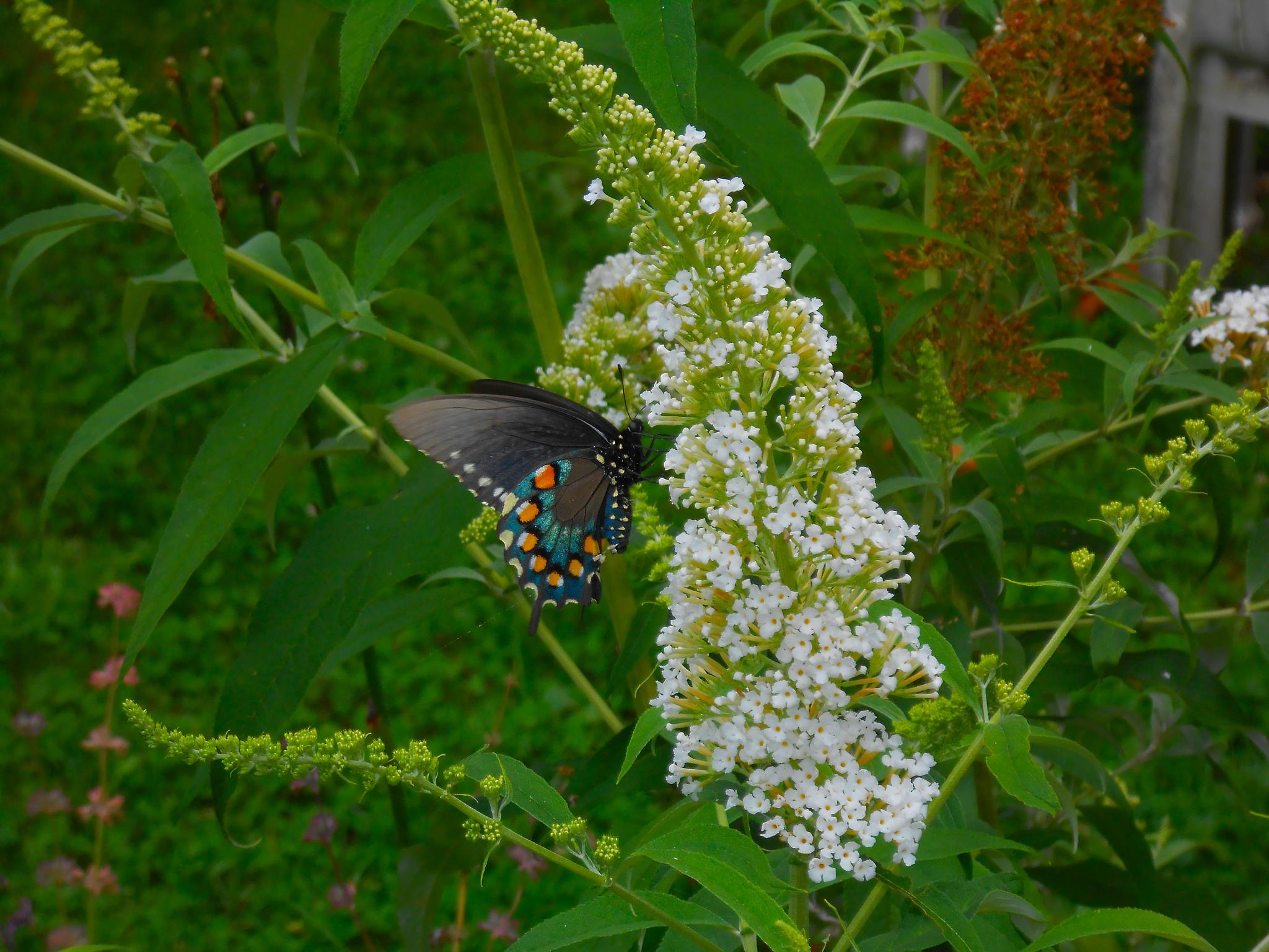 Pipevine Swallowtail On A Butterfly Bush by kiralysha