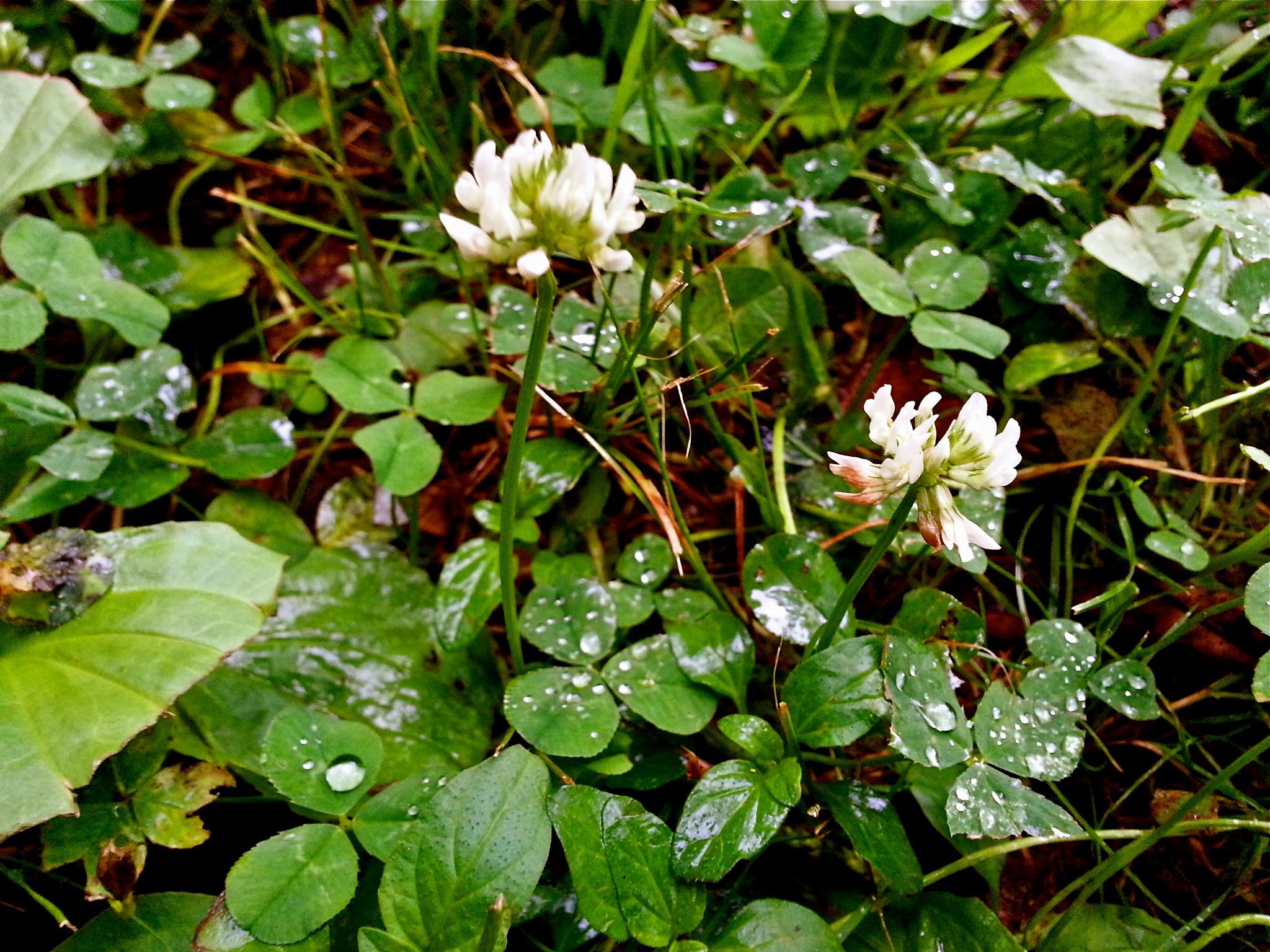 Raindrops and Clovers by kiralysha
