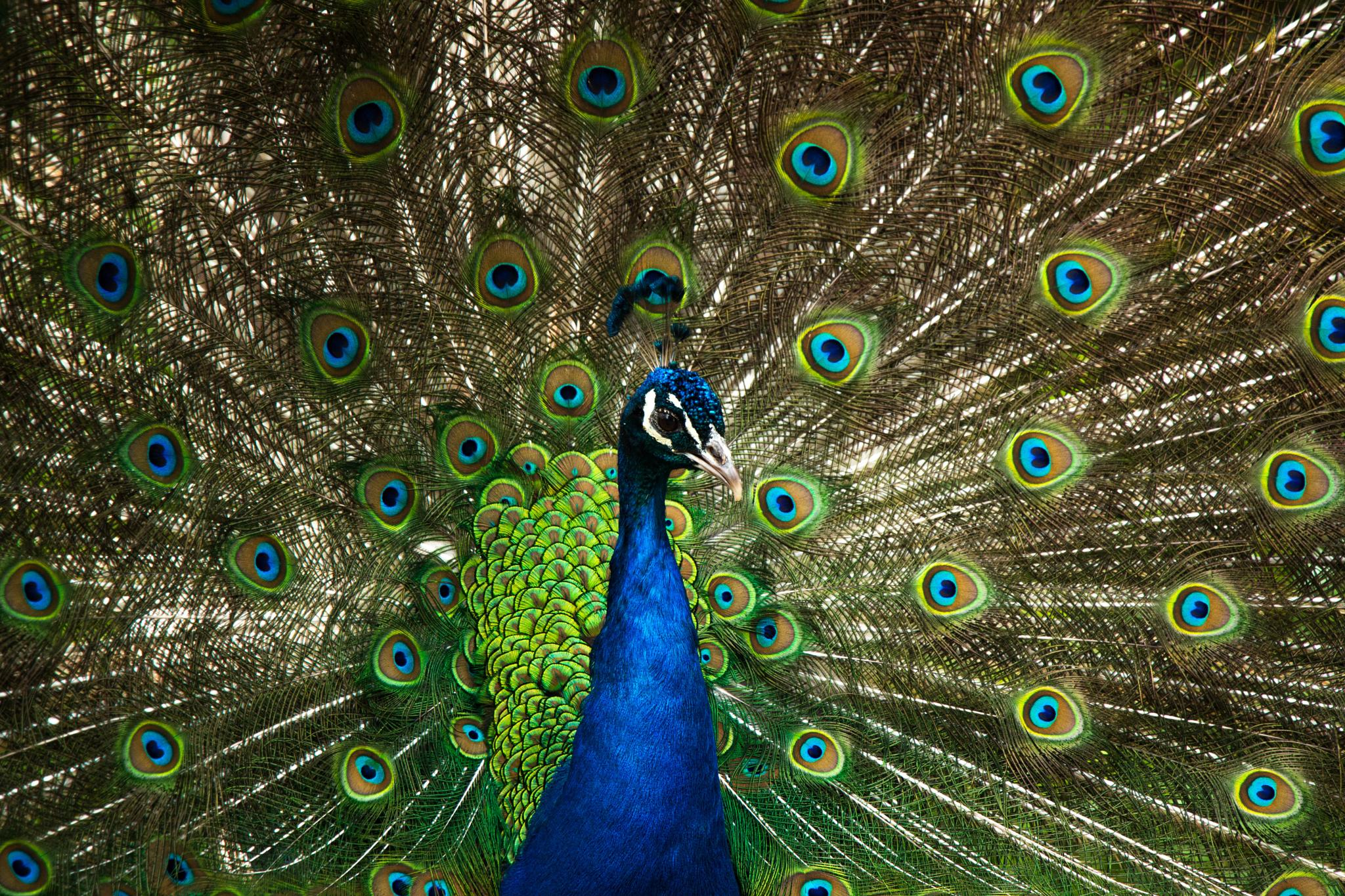 Peacock  by pricey